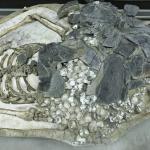南科三寶埤遺址出土,大湖文化時期的遺留,骨骸下方堆積著血蚶殼。 攝影│張語辰