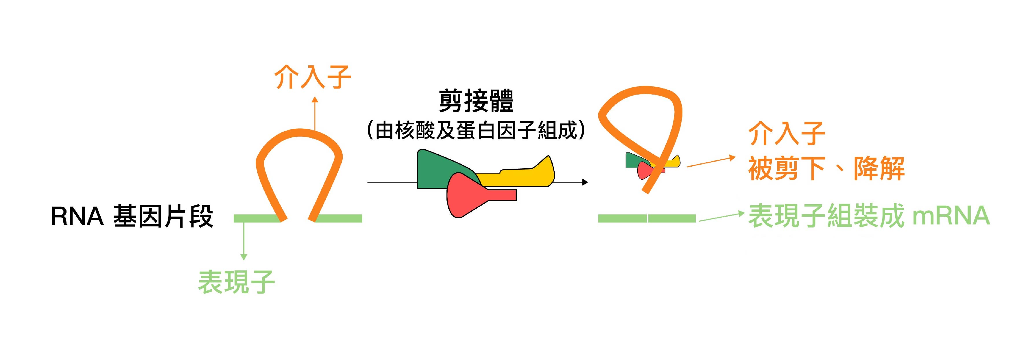 RNA 剪接過程中,由核酸及蛋白因子組成的「剪接體」,會剪下不需要的介入子、組裝被保留的表現子。圖│研之有物 (資料來源│鄭淑珍)