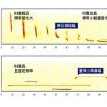 東亞摺翅蝠、臺灣小蹄鼻蝠,回聲定位發出的超音波頻率,因活動空間與生活型態而不同。 資料來源│端木茂甯、李佳紜提供 圖說重製│林婷嫻、張語辰