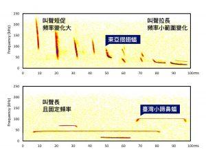 東亞摺翅蝠、臺灣小蹄鼻蝠,回聲定位發出的超音波頻率,因活動空間與生活型態而不同。圖│研之有物 (資料來源│端木茂甯、李佳紜)