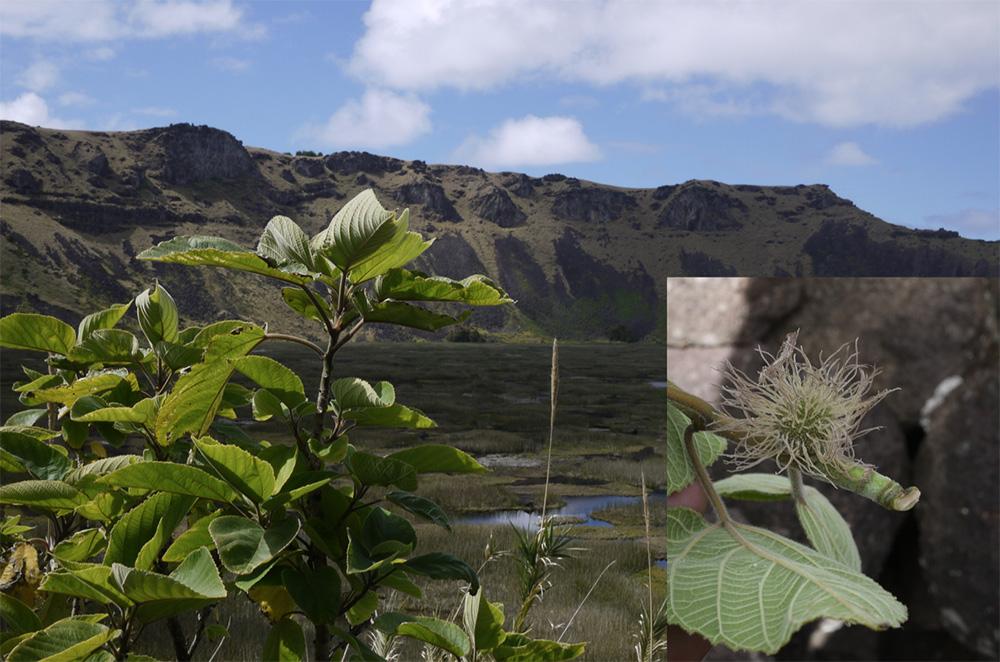 原生東亞的構樹能適應多種環境,但在熱帶需要人工照顧栽培。大洋洲南島語族種植的構樹大多為雌樹,以根部萌櫱為繁殖方法,在構樹開花之前就會剝取樹皮加工。右圖的構樹雌花序是大洋洲居民少見的景象。 圖片來源│鍾國芳提供