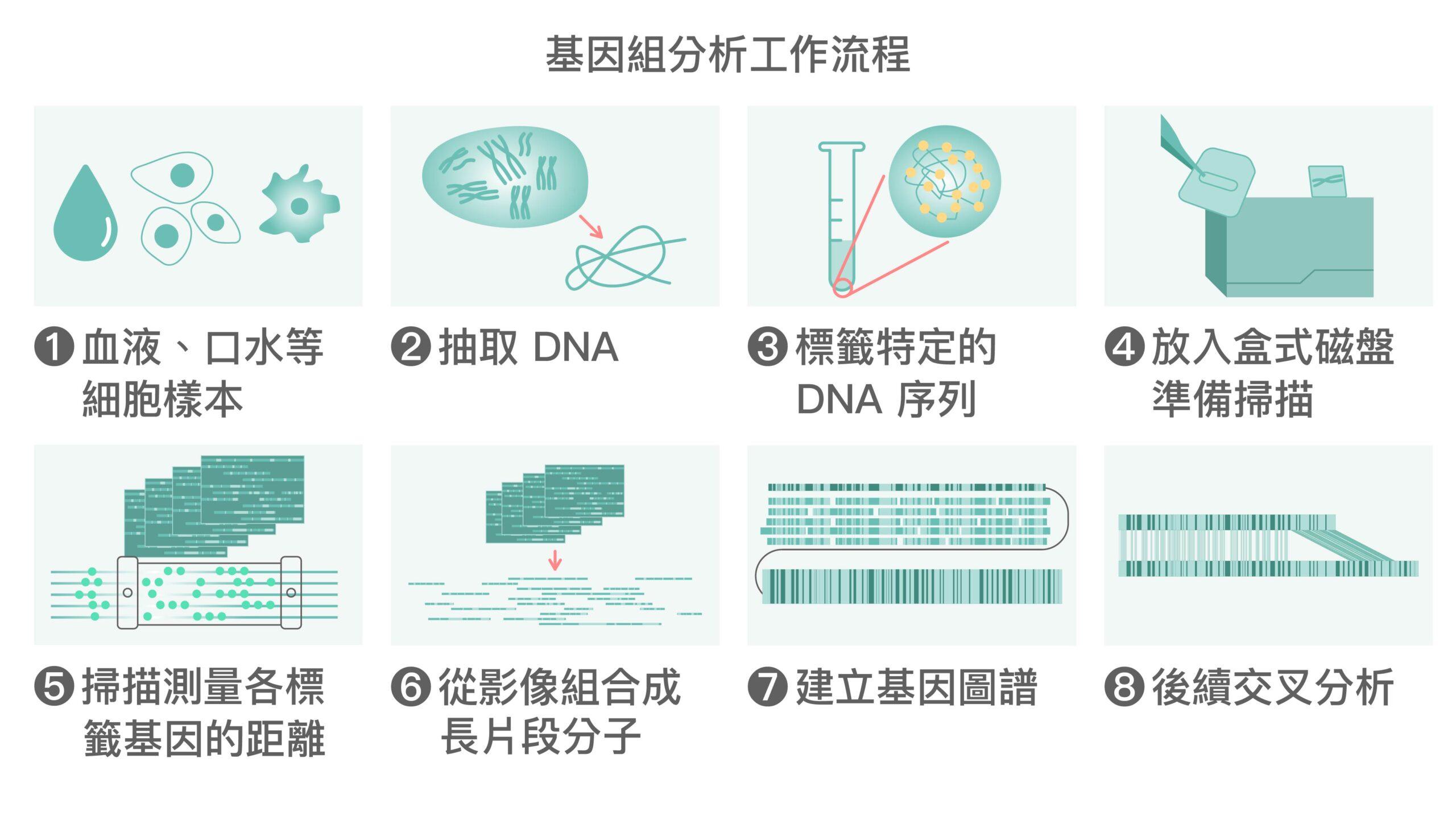 全基因體圖譜繪製流程。圖│研之有物 (資料來源│Vilella Genomics)