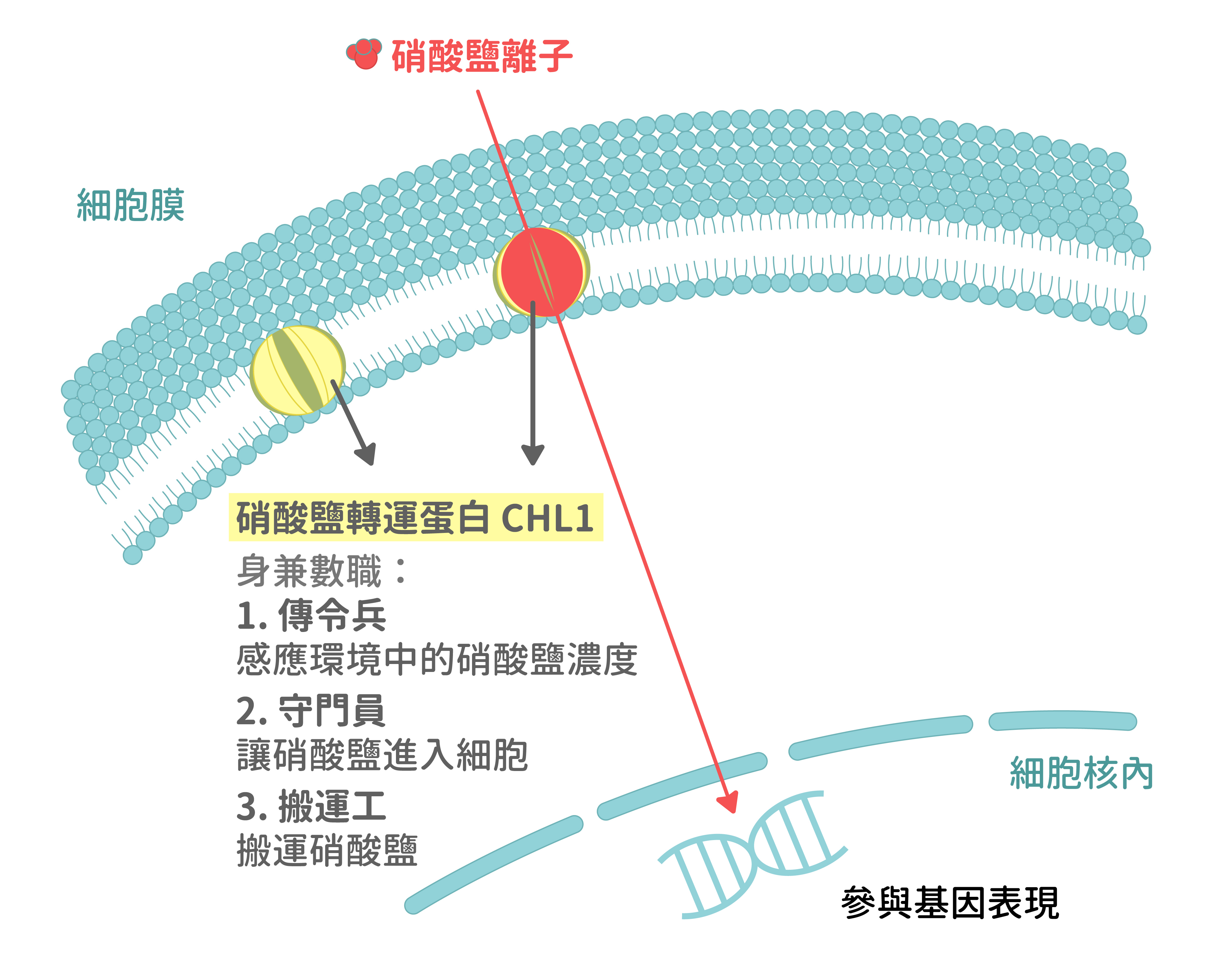 位於細胞膜,身兼數職的硝酸鹽轉運蛋白 CHL1 。 資料來源│C.-H. Ho, S.-H. Lin, H.-C. Hu, and Y.-F. Tsay* (2009) CHL1 Functions as a Nitrate Sensor in Plants. Cell 138, 1184–1194. 圖說重製│江佩津、張語辰