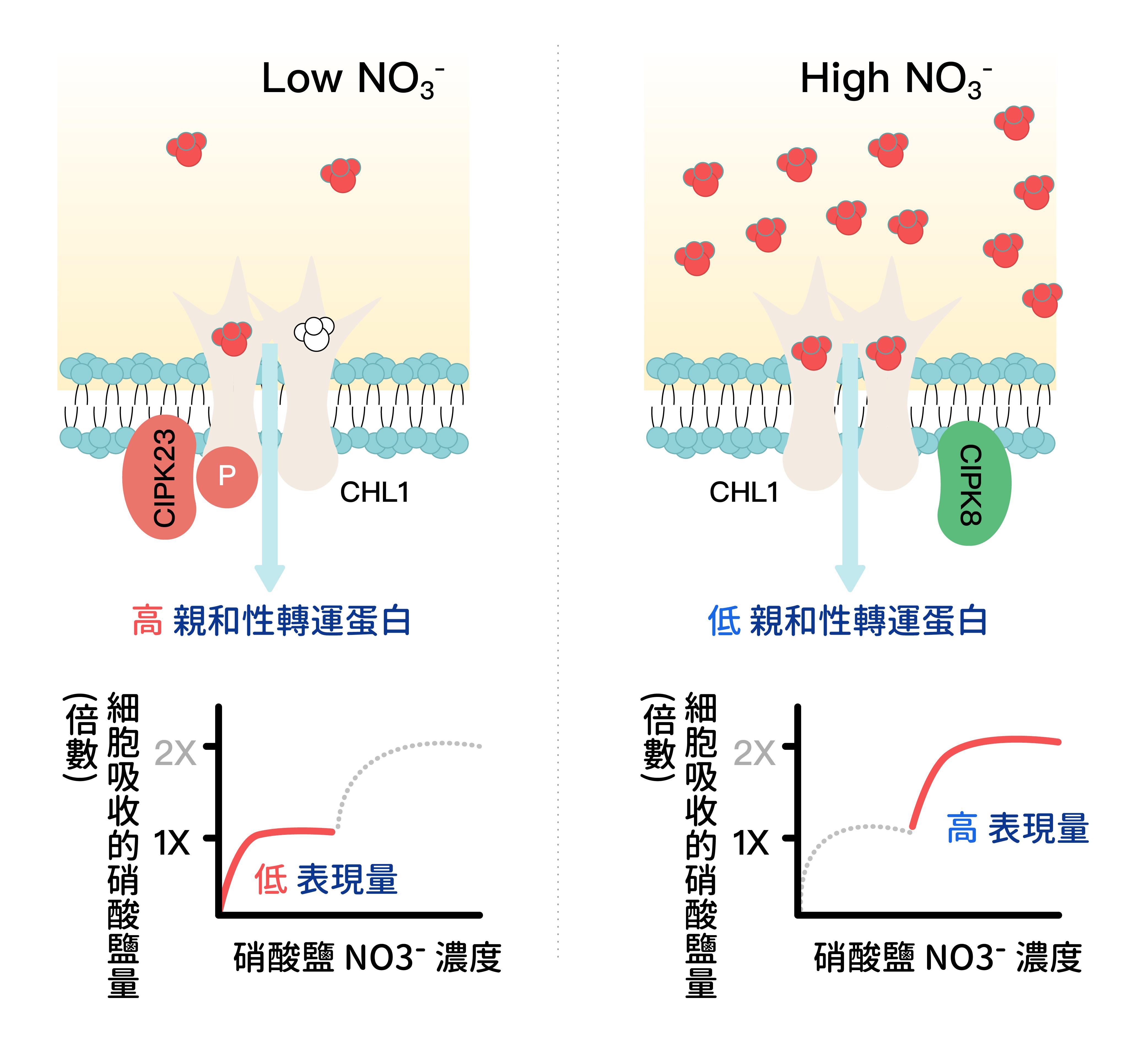 (左圖)當環境中硝酸鹽濃度較低時,CHL1 會因磷酸化,而成為高親和性的轉運蛋白。 (右圖)當硝酸鹽濃度較高時,CHL1則被去磷酸化,以轉換成低親和性的轉運蛋白。 資料來源│K.-H. Liu and Y.-F. Tsay*. (2003) Switching between the two action modes of the dual-affinity nitrate transporter CHL1 by phosphorylation.EMBO J.22:1005-1013.