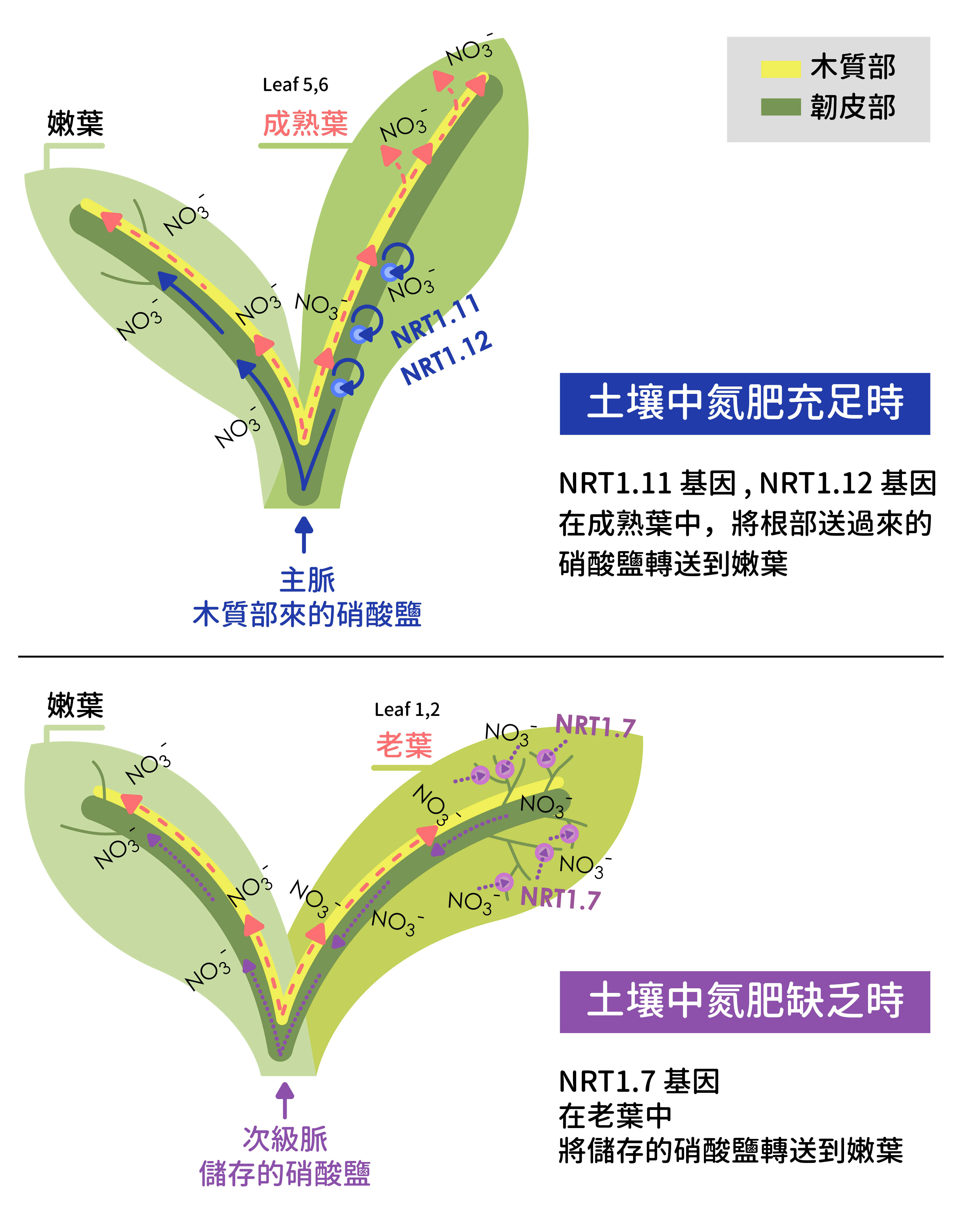 阿拉伯芥中,調控硝酸鹽吸收的基因 NRT1.11, NRT1.12 和 NRT1.7 ,透過不同路徑養護嫩葉。 資料來源│Ya-Yun Wang∗, Yu-Hsuan Cheng∗, Kuo-En Chen and Yi-Fang Tsay (2018) Nitrate Transport, Signaling, and Use Efficiency. Annu. Rev. Plant Biol. 69:27.1–27.38.、S.-C. Fan, C.-S. Lin, P.-K. Hsu, S.-H. Lin, and Y.-F. Tsay* (2009) The Arabidopsis Nitrate Transporter NRT1.7, Expressed in Phloem, Is Responsible for Source-to-Sink Remobilization of Nitrate. Plant Cell 21: 2750–2761.
