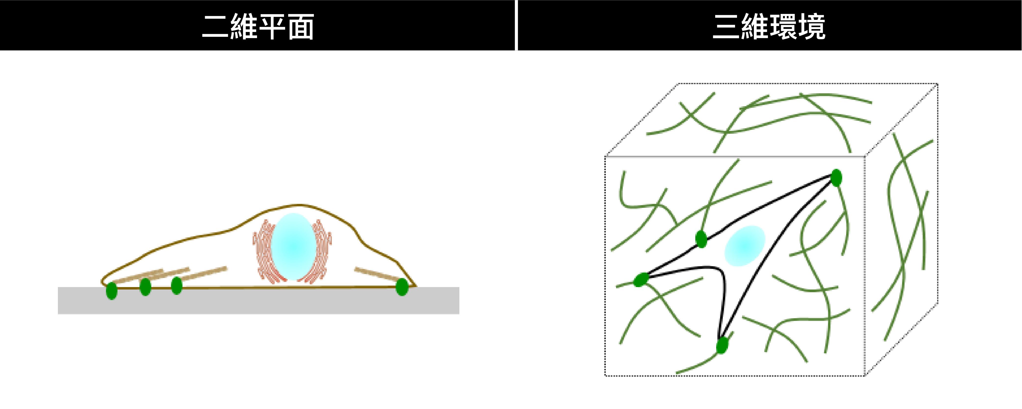 真實細胞生長於三維環境,與二維平面(如培養皿)的條件不同。 圖│林耿慧