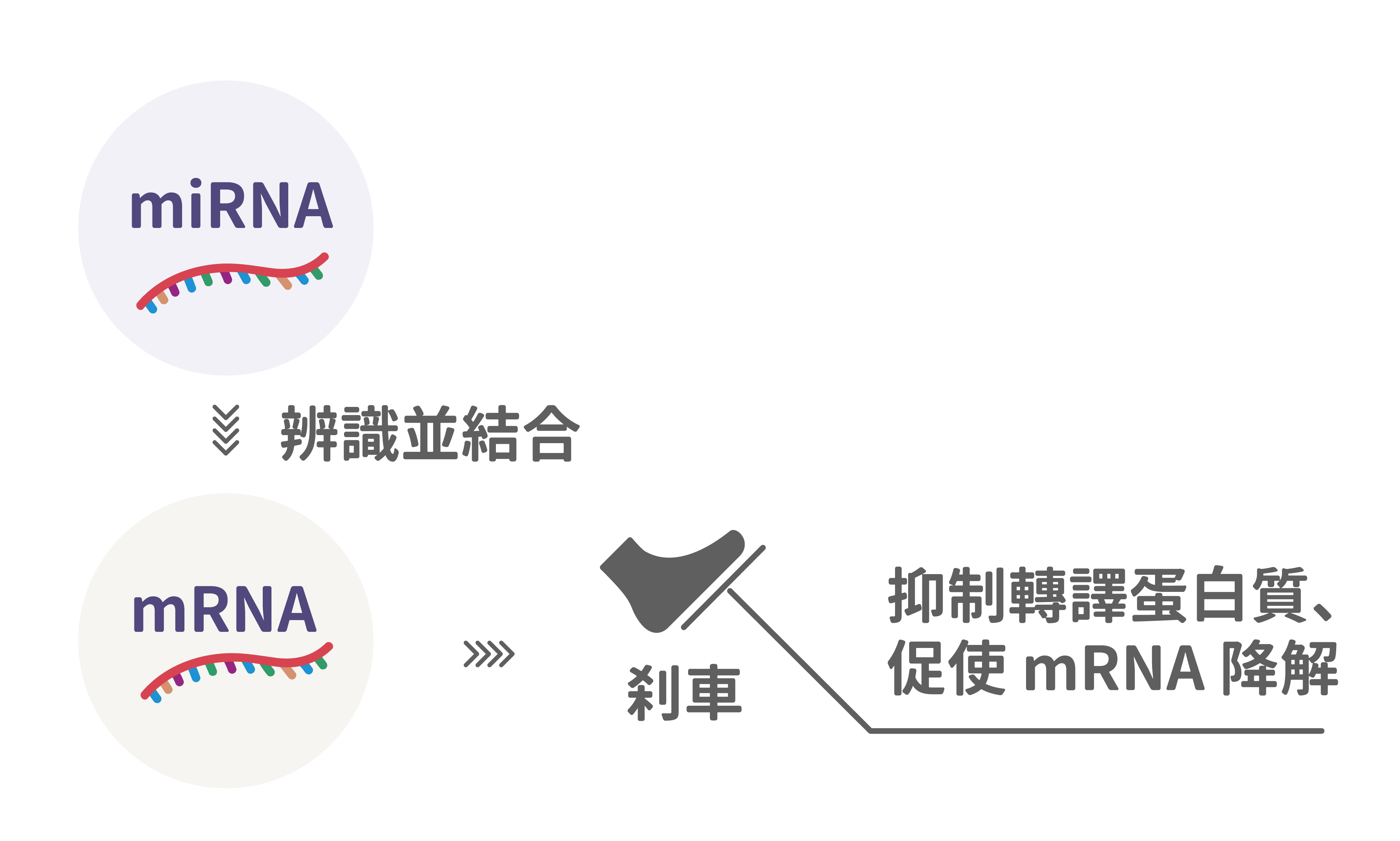 miRNA 彷彿在幫 mRNA 踩剎車,暫停後續轉譯蛋白質,藉此調控基因表現。 圖說設計│張語辰