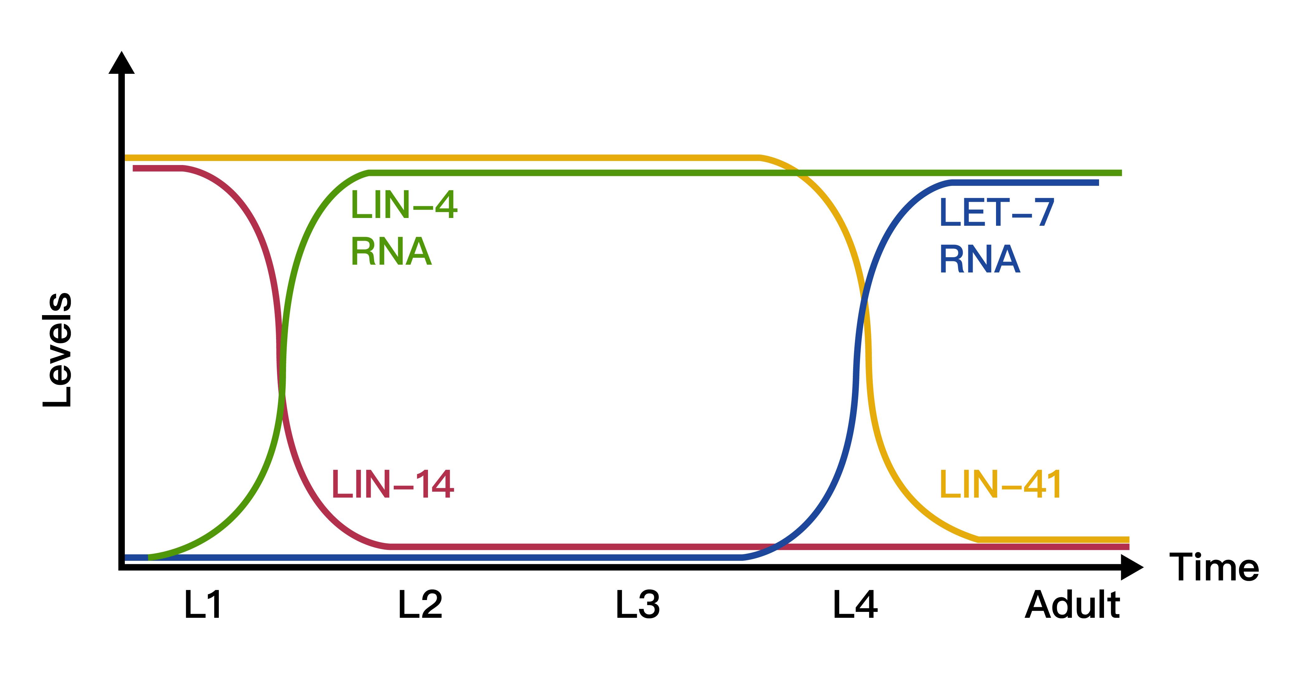 miRNAs lin-4 和 let-7 調控標靶基因的時間關係,貫穿線蟲的年幼時期到成蟲。圖│Vella, M.C., & Slack, F.J. (2005). C. elegans microRNAs. WormBook : the online review of C. elegans biology, 1-9.