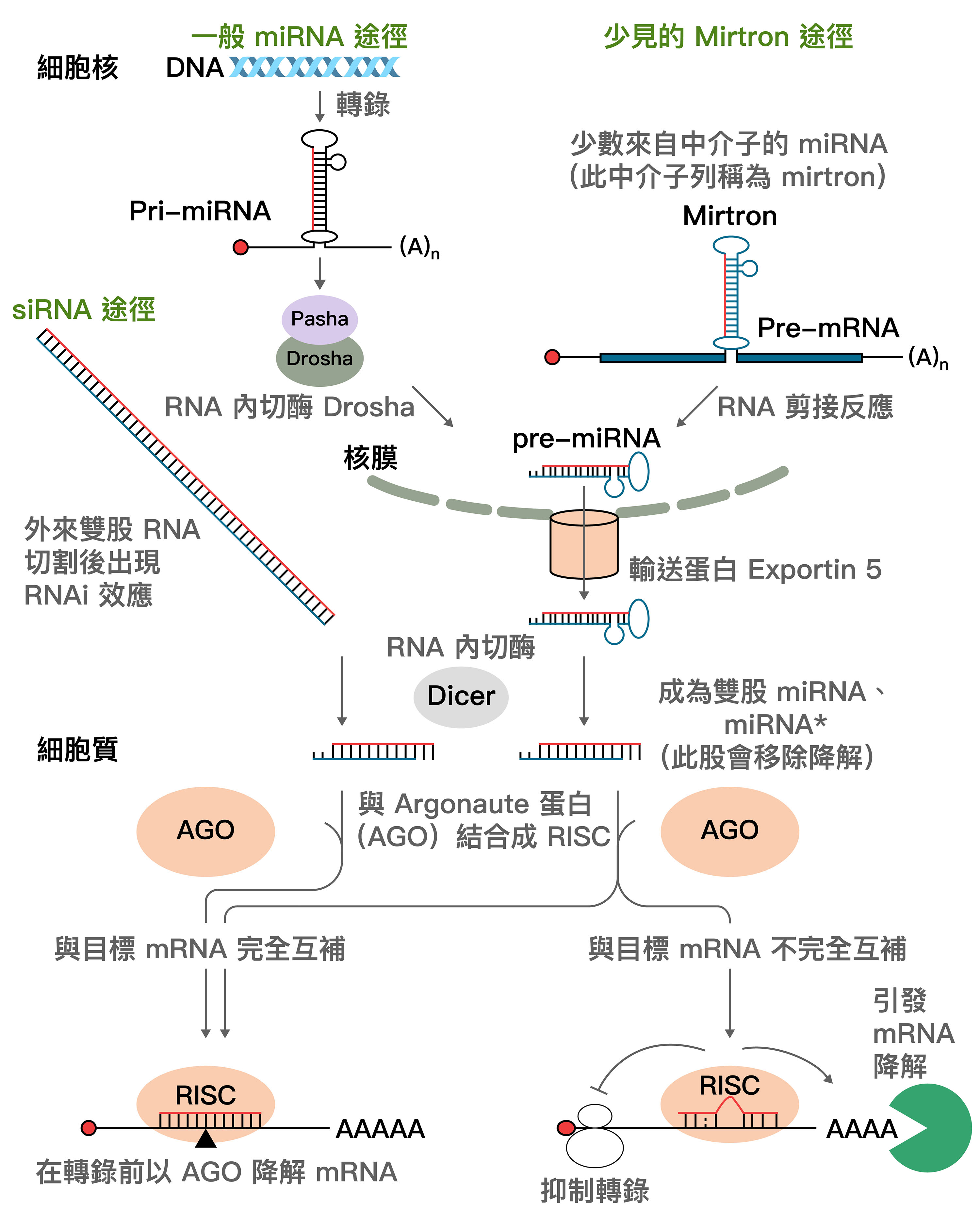 miRNA 和 siRNA 的生成與作用: 一般路徑: 1. DNA 與 RNA 聚合酶轉錄出上百至上千核苷酸長的 pri-miRNA,透過 Drosha 切割為 60~70 核苷酸長的 pre-miRNA。 2. pre-miRNA 經過輸送蛋白 exportin-5 進入細胞質,由 Dicer 切割為約 22 核苷酸長度的 miRNA 和互補股 miRNA* (將被移除降解的一股)。 3. miRNA 和 AGO 蛋白結合成 RISC ,尋找並結合目標 mRNA。完美結合就可以迅速切斷、降解 mRNA。結合不完全,形成突起 (bulge) 的話,就會抑制核糖體轉錄功能,進而由 來自 RISC 的去腺嘧啶酶(deadenylase) 複合物降解 mRNA。 ----- 較少見的 Mirtron 路徑 (右上): 1.來自中介子 (intron) 的 miRNA 序列,不經過 Drosha,而是由 RNA 剪接反應形成 pre-miRNA。此後的步驟與一般路徑相同。 ----- siRNA 路徑 (左): 1. 外來雙股 DNA 進入細胞質,由 Dicer 切割為數十核苷酸長度的雙股 RNA 。 2. 其中一股與 AGO 等蛋白組成 RISC,可以和目標 mRNA 完美結合,並將其切斷降解。 資料來源│詹世鵬,2010。〈小兵立大功─ 微小核醣核酸與小干擾核醣核酸〉,《化學》,68 (4),303 - 312。 圖說重製│林任遠、張語辰