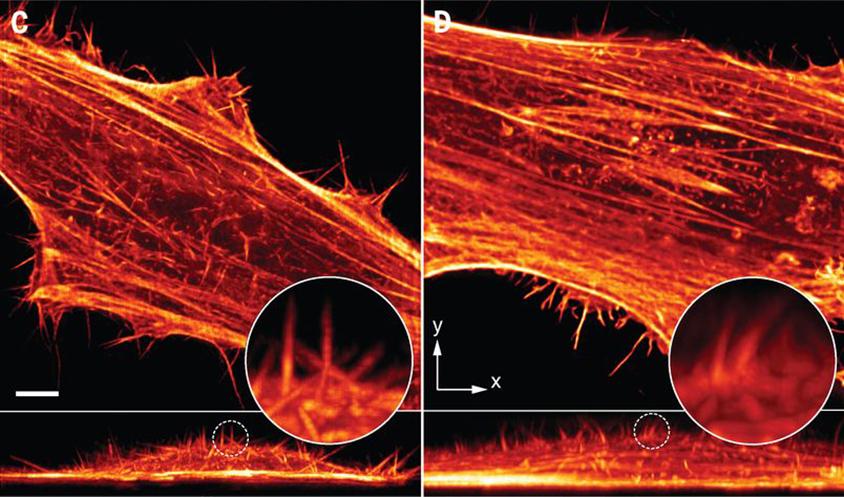 左圖為陳壁彰團隊運用晶格層光照射的海拉細胞二維影像,右圖是一般貝索光束。可以見到晶格層光能取得較細緻的結構成像。圖│Chen, B. C., Legant, W. R., Wang, K., Shao, L., Milkie, D. E., Davidson, M. W., … & English, B. P. (2014). Lattice light-sheet microscopy: imaging molecules to embryos at high spatiotemporal resolution. Science, 346(6208), 1257998.