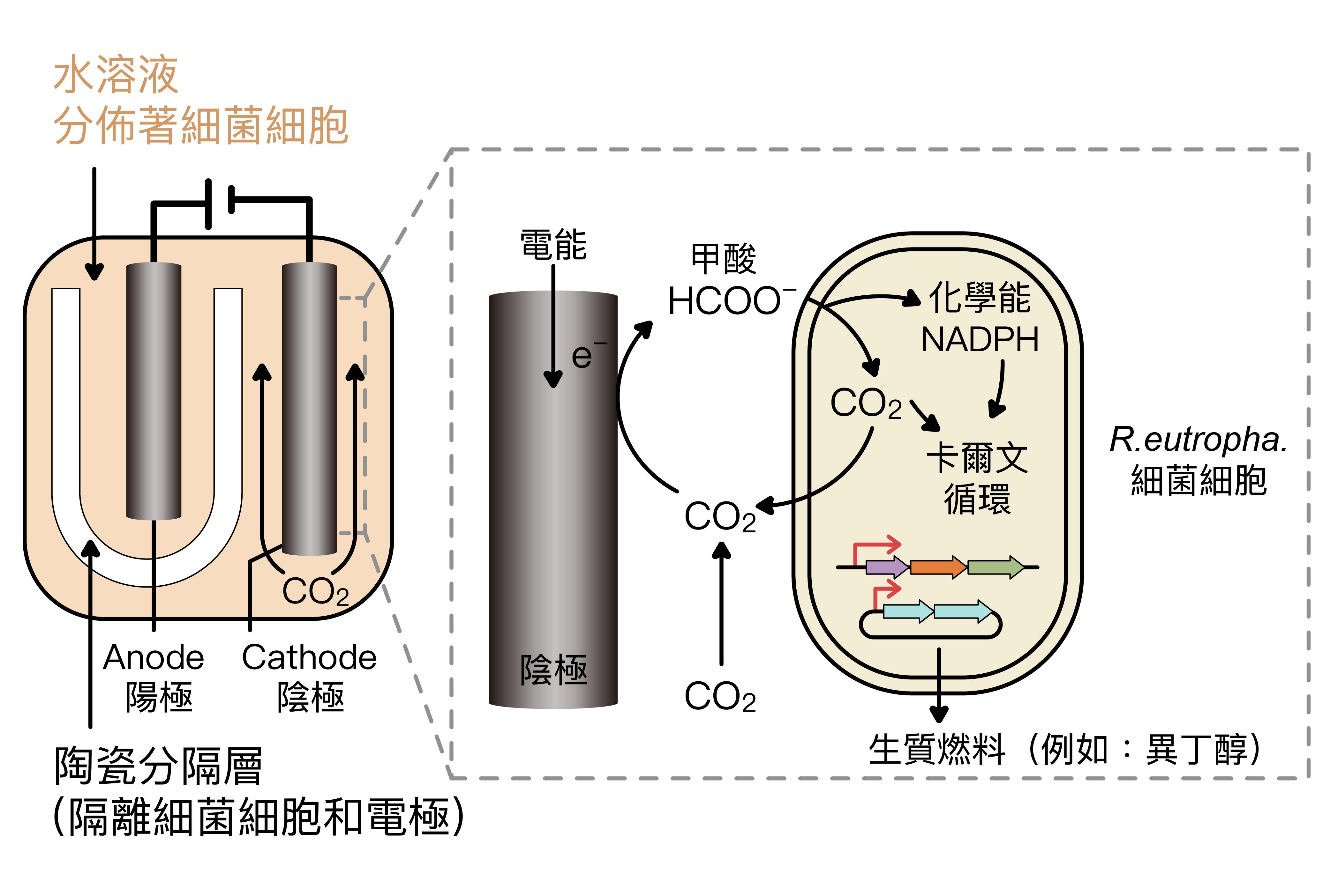 廖俊智與團隊改造的微生物系統:透過細菌細胞的合成反應,先將電能轉換為化學能,再用化學能合成產出燃料。 資料來源│Integrated electromicrobial conversion of CO2 to higher alcohols. 圖說重製│林婷嫻、張語辰
