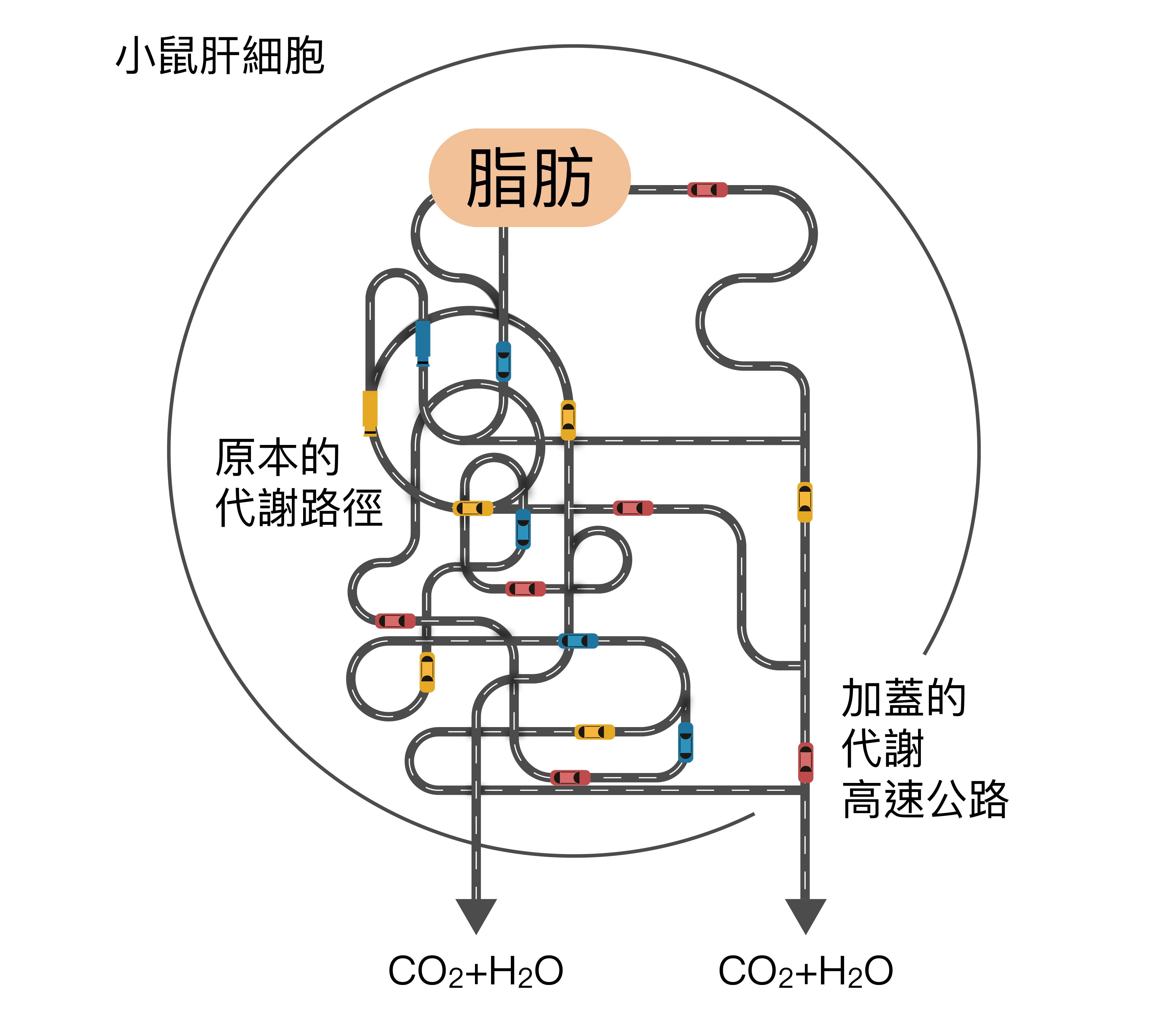 廖俊智與研究團隊加蓋的「高速公路」,由「酶」堆砌而成,用來幫助代謝脂肪。 資料來源│廖俊智說明 圖說設計│林婷嫻、張語辰