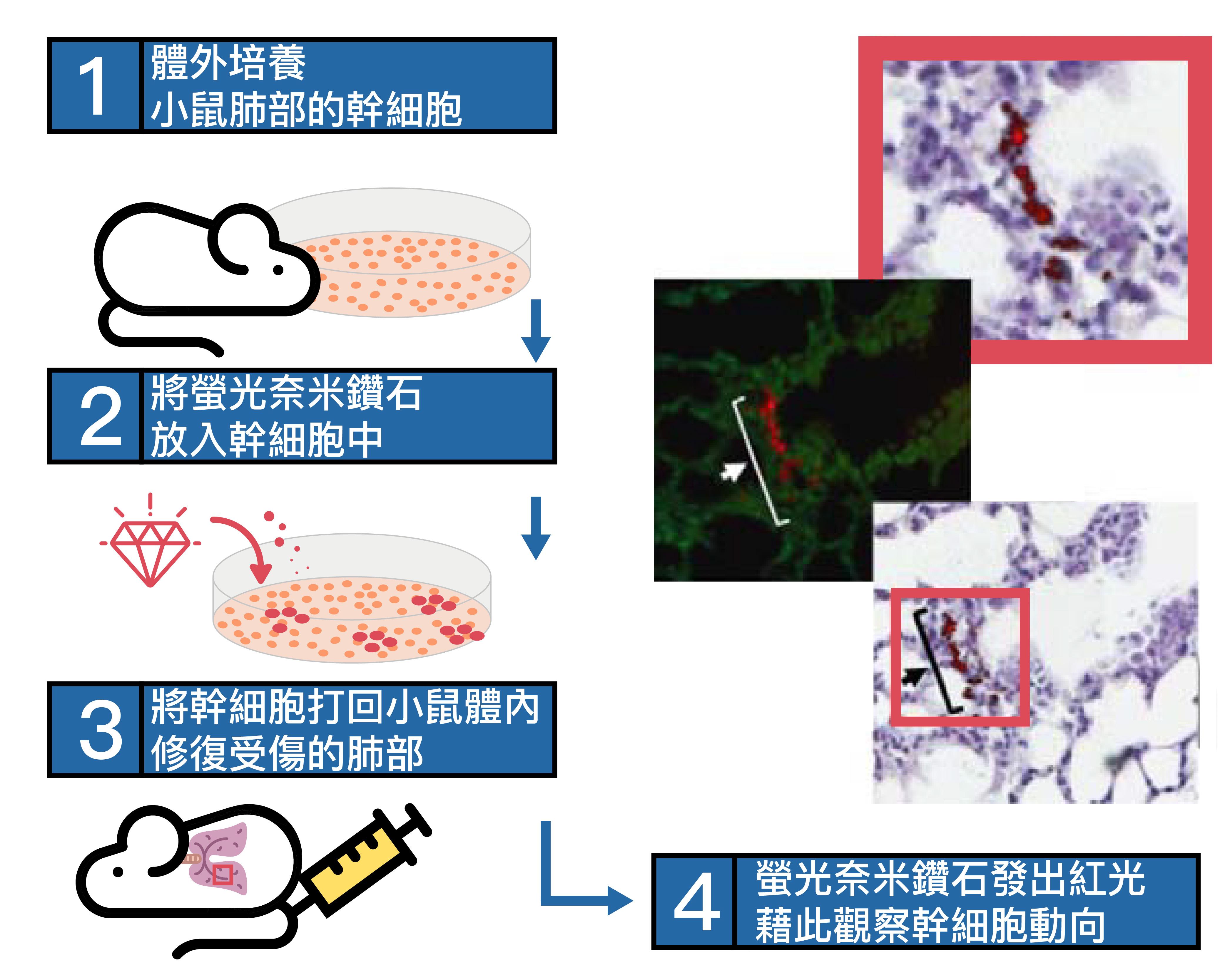 利用螢光奈米鑽石追蹤幹細胞。 資料來源│〈螢光奈米鑽石〉,作者:張煥正 圖說重製│張語辰