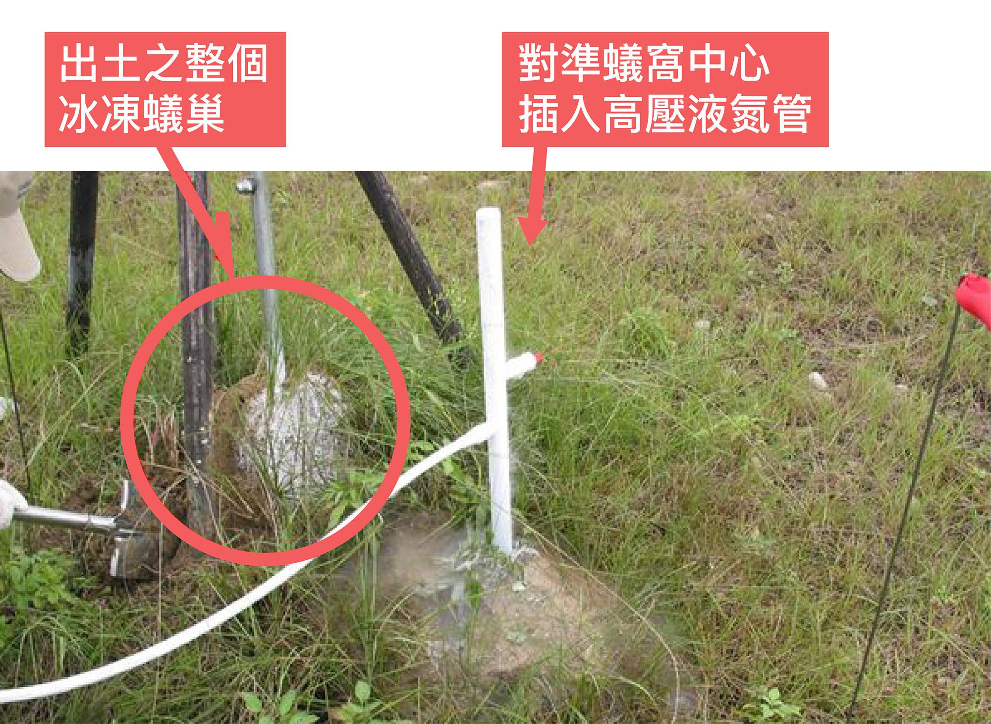 利用液態氮冷凍紅火蟻蟻巢。圖│研之有物(資料來源│陳洋元提供)