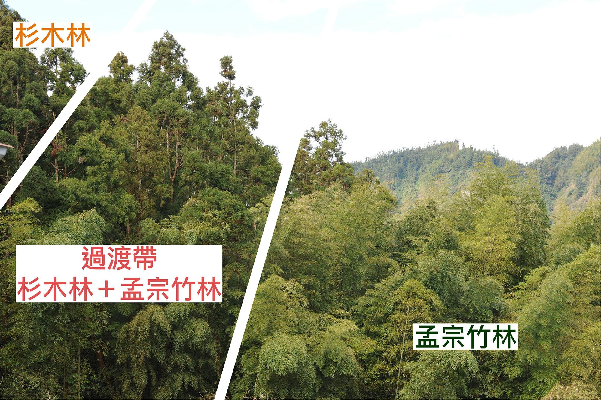 孟宗竹林侵入鄰近的杉木或闊葉林,是臺灣山區常見的景象。 資料來源│邱志郁(溪頭羊彎) 圖說重製│廖英凱、張語辰
