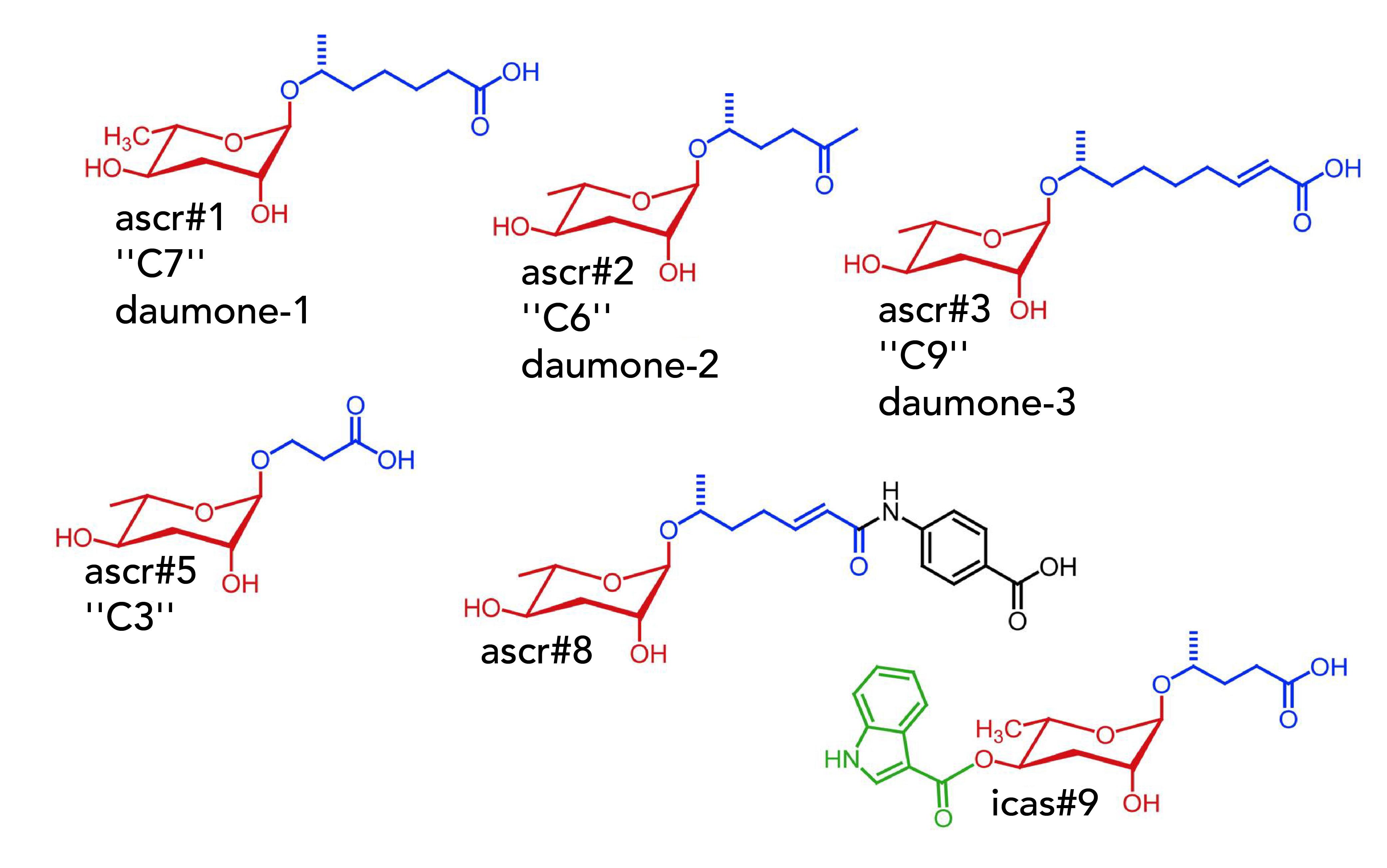 C.elegans 線蟲分泌的不同 Ascarosides 醣分子。中間紅色的六環結構基本相同,尾端鏈結的碳鏈長度和分子有些微差異。 資料來源│Jeong PY et al. Nature. 2005; Butcher RA et al. Nat Chem Biol. 2007; Srinivasan J et al. Nature. 2008; Srinivasan J et al. PLoS Bio 2012; Choe A et al. Curr Biol 2012