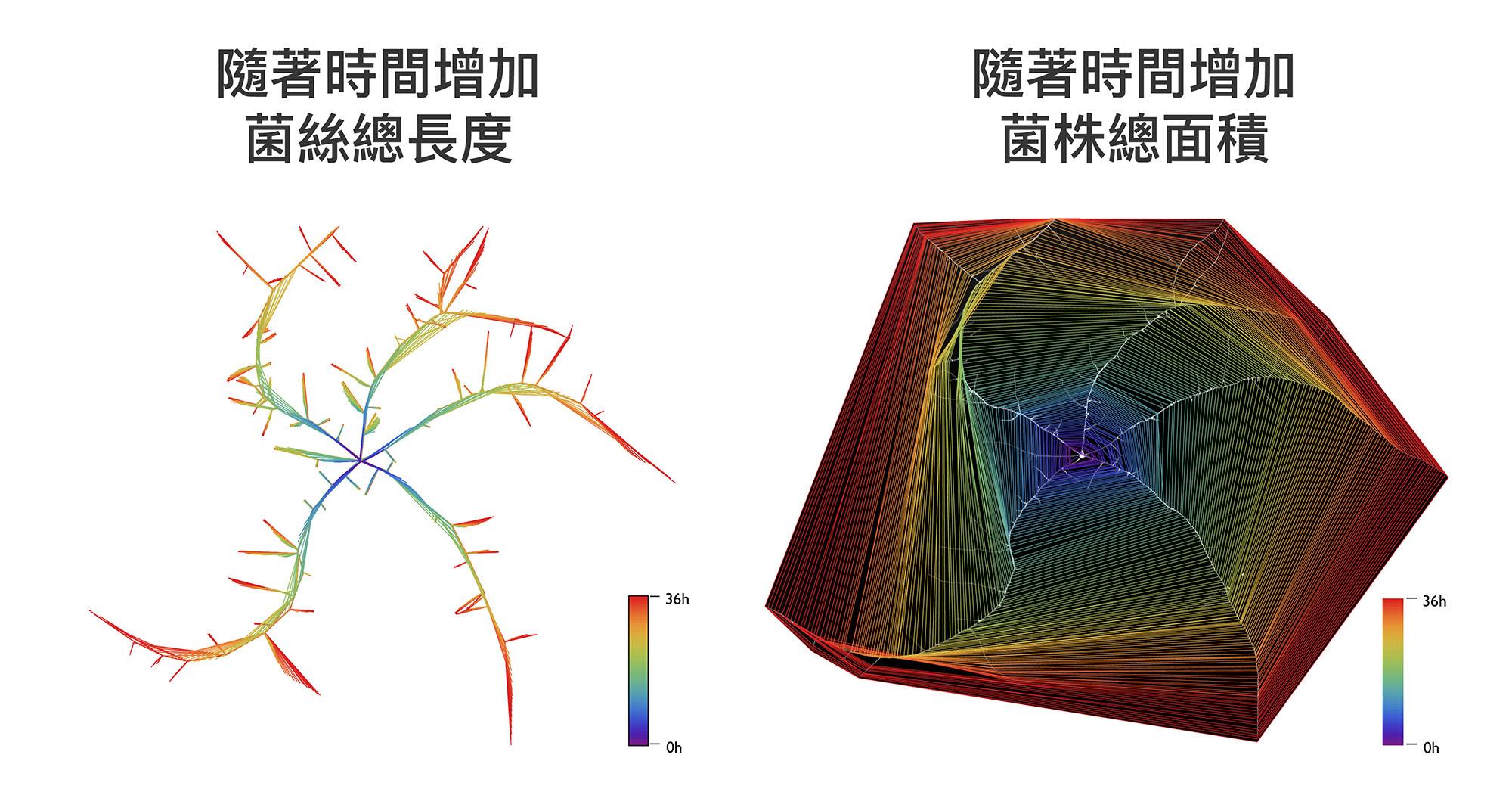 薛雁冰團隊發展的電腦視覺技術,可以明確地計算真菌隨著時間生長的菌絲長度、菌株面積。 資料來源│Vidal-Diez de Ulzurrun G and Hsueh YP, unpublished.