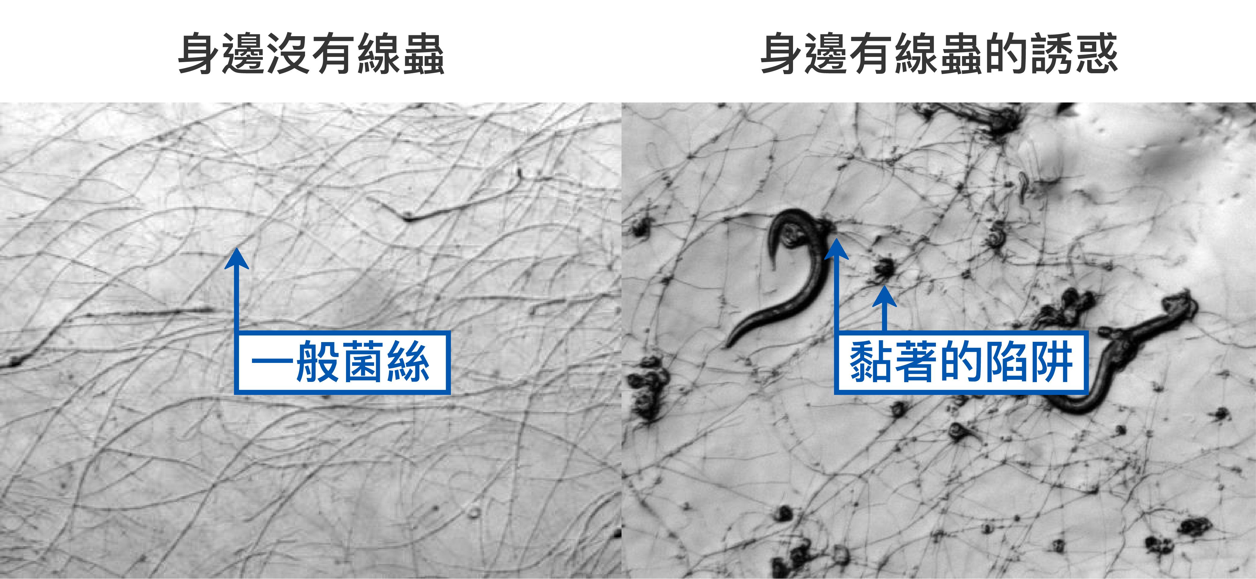 即使環境中氮養分不足,線蟲捕捉菌 A.oligospora 還是只有一般菌絲(左圖) 。但若偵測到身邊有線蟲,就會趕快長出黏著的陷阱(右圖)。 資料來源│Vidal-Diez de Ulzurrun G, Hsueh YP (2018) Predator-prey interactions of nematode-trapping fungi and nematodes: both sides of the coin. Appl Microbiol Biotechnol, 102: 3939. 圖說重製│林婷嫻、張語辰