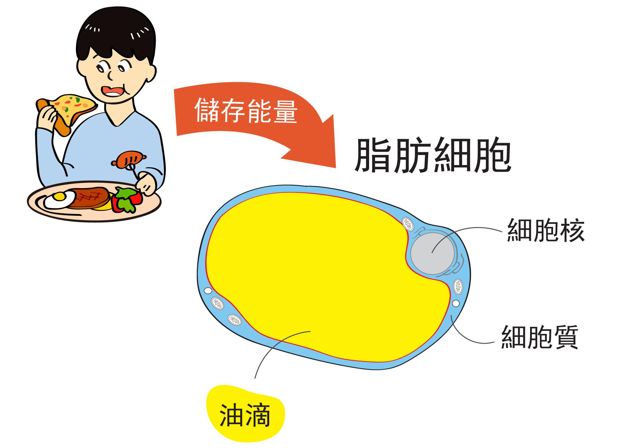 人們吃下去的食物,經過消化吸收後,將多出來的能量儲存在脂肪細胞裡的「油滴」。圖│研之有物