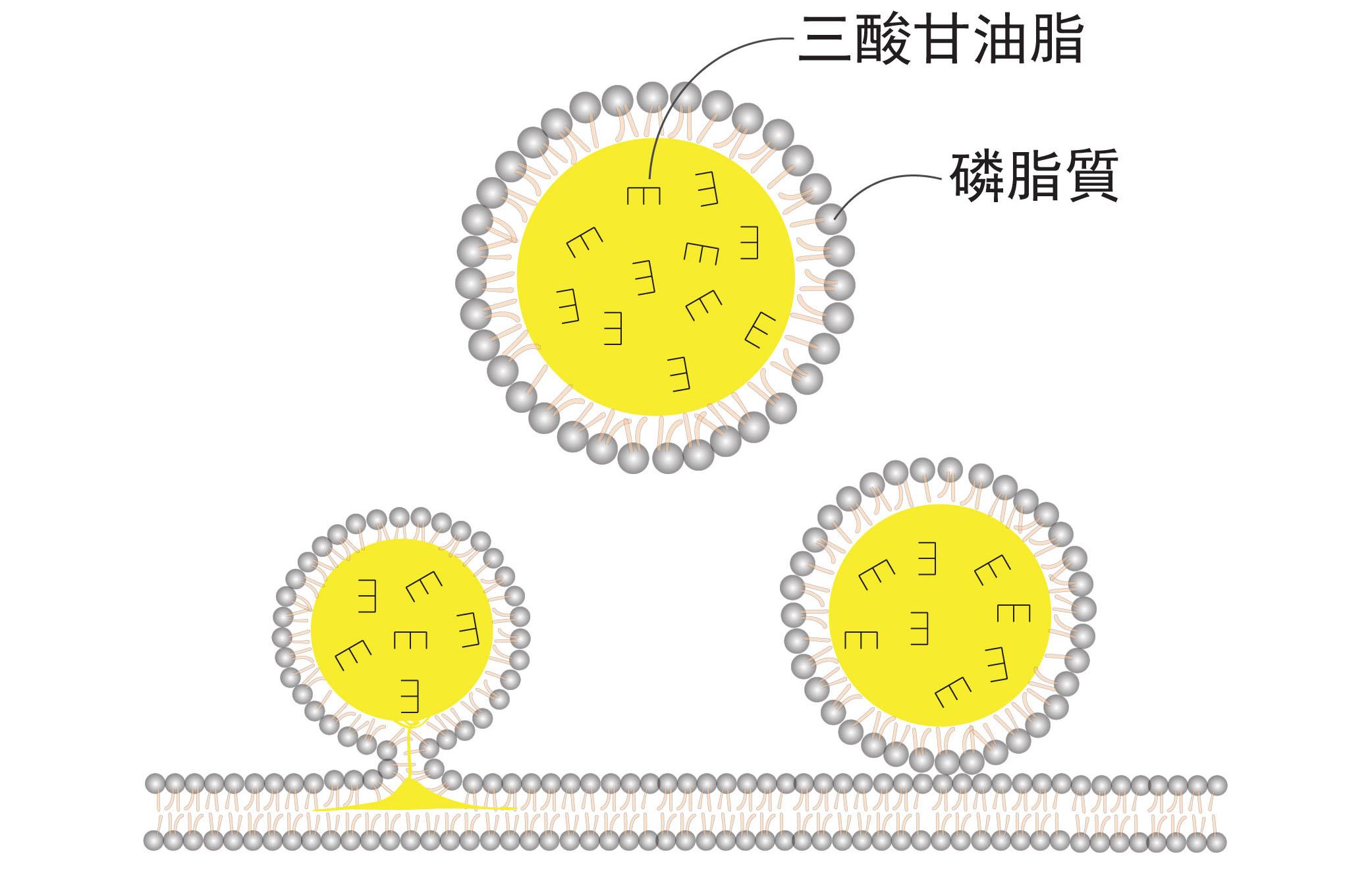 油滴的基本構造,就是一個脂肪球。外面一層膜由「磷脂質」組成,裡面包裹主要是類似「三酸甘油脂」之類的中性脂肪。油滴是從脂肪細胞中的內質網生成,它在細胞中的大小並不一致。圖│王昭雯