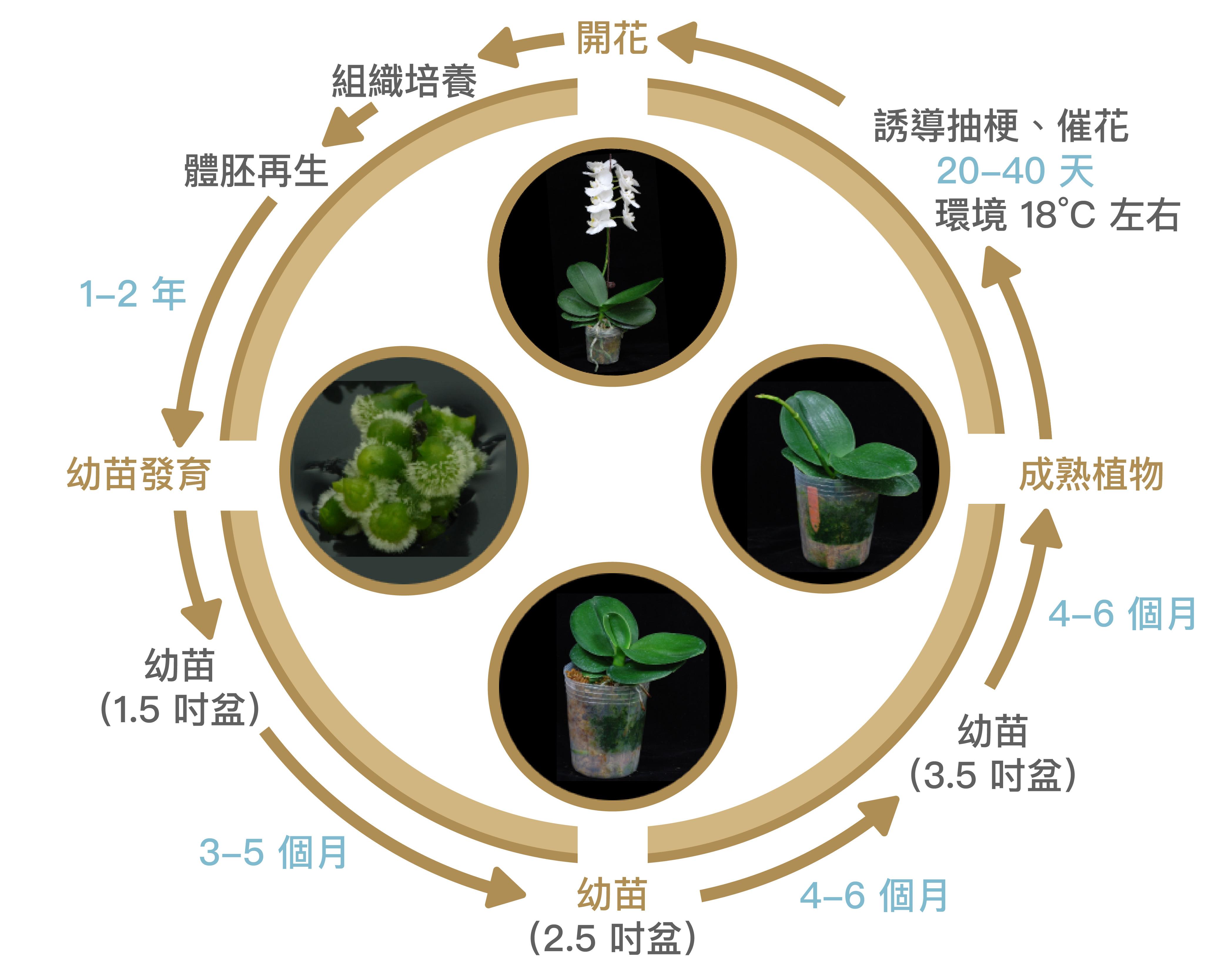 蘭花的生命週期。要如何縮短組織培養、催花的時間,以及開出想要的花型,是農民最關心的問題。 資料來源│施明哲提供 圖說重製│江佩津、張語辰