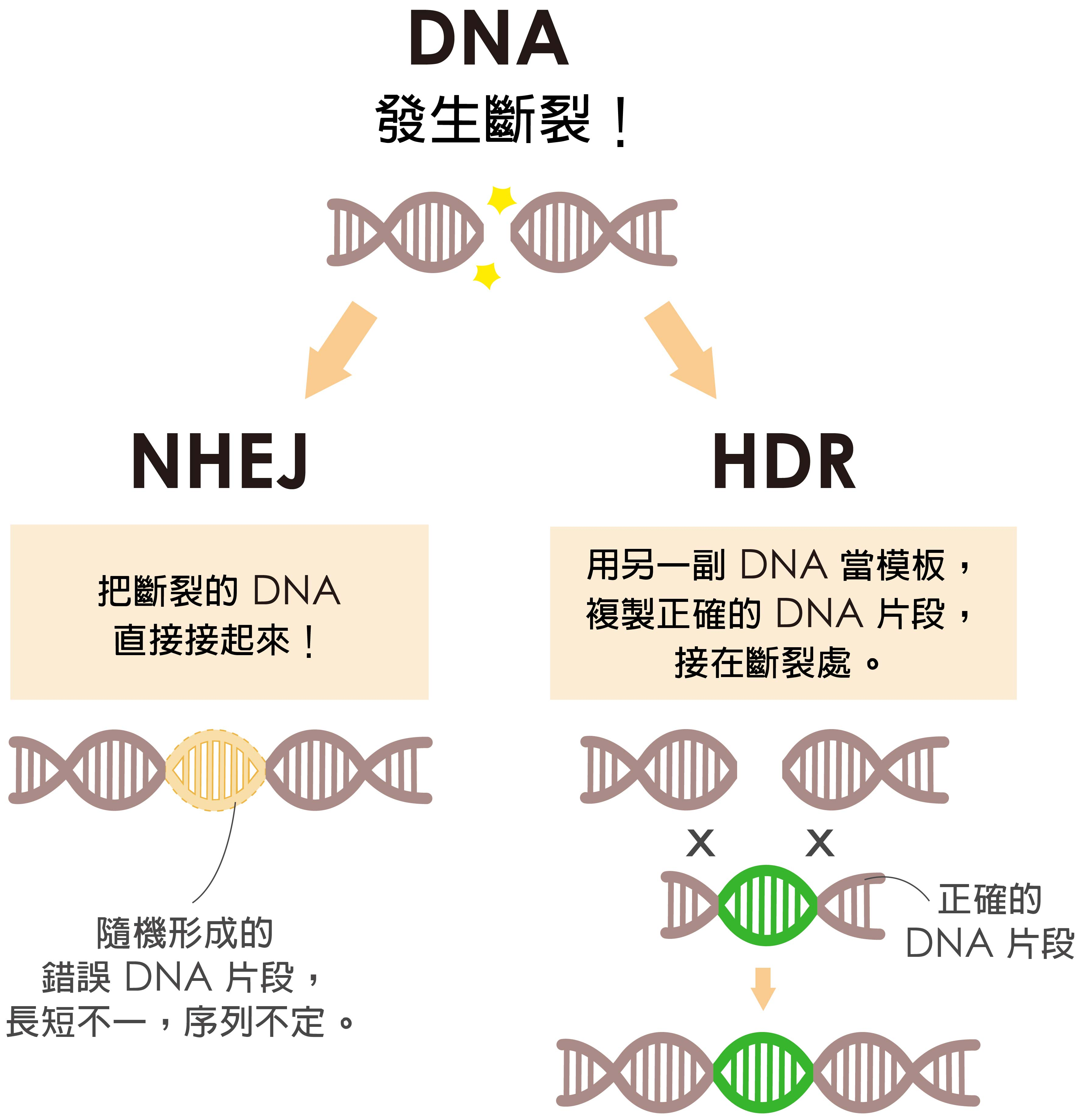 細胞修復 DNA 有兩條路,NHEJ 是直接把斷裂處接起來,HDR 是拿另一副 DNA 做模板複製正確的 DNA 片段,接在斷裂處。當細胞選擇走 HDR,才有可能接受外界送入的正確基因。圖說設計│黃曉君、林洵安 資料來源│凌嘉鴻