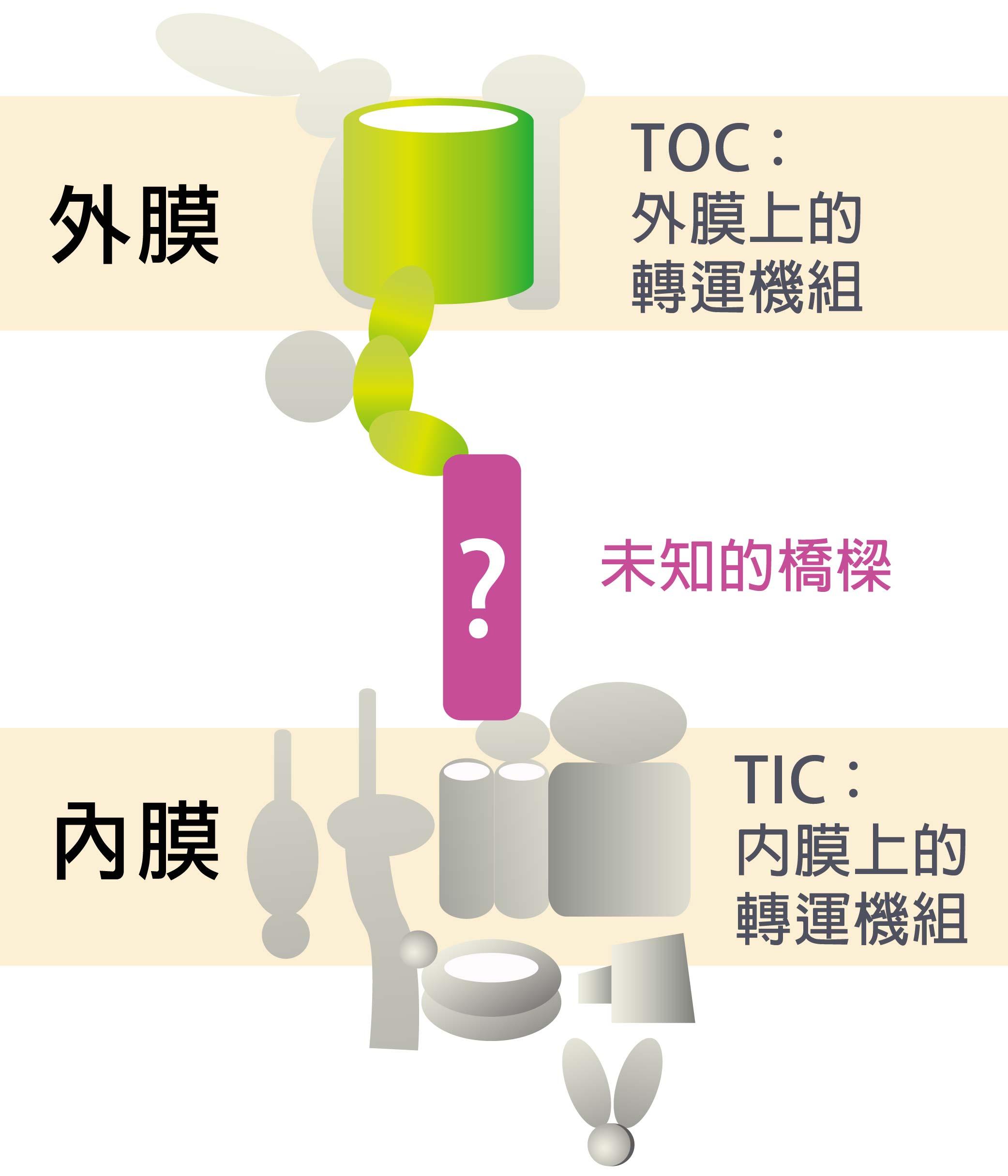 過去科學家已經找到內、外膜上的轉運機組的許多成員,實驗上也證實兩機組應該是相連。怎麼證實的?科學家從豌豆苗分離出葉綠體,利用和膜上機組成員對應的抗體,將膜上的機組成員拉下來,看看能不能把內外膜機組成員一起拉下來。李秀敏解釋:「用抗體從外膜拉,TOC 和 TIC 會一起被拉下來,用抗體從內膜拉,兩者也一起被拉下來,所以知道彼此間一定有一座橋相連。」然而科學家始終找不到那座「橋」。資料來源│李秀敏 圖片重製│林洵安