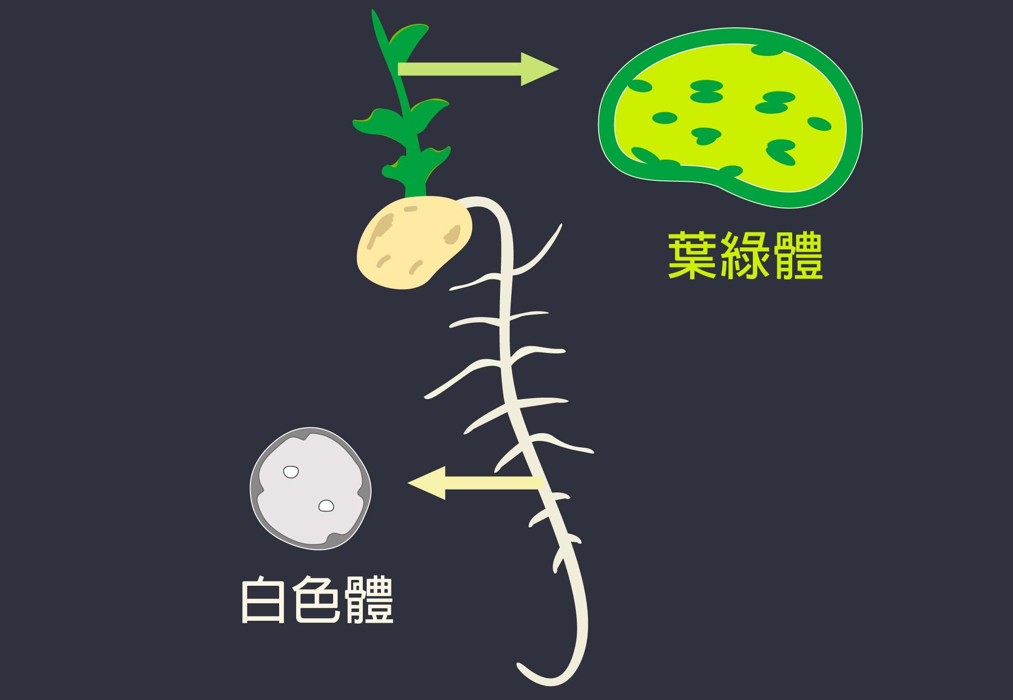 豌豆葉片上的葉綠體與根部的白色體,兩者都是植物的色質體分化而來,所以結構很相似,一樣都具有內外膜的橋樑:TIC236。圖片重製│林洵安