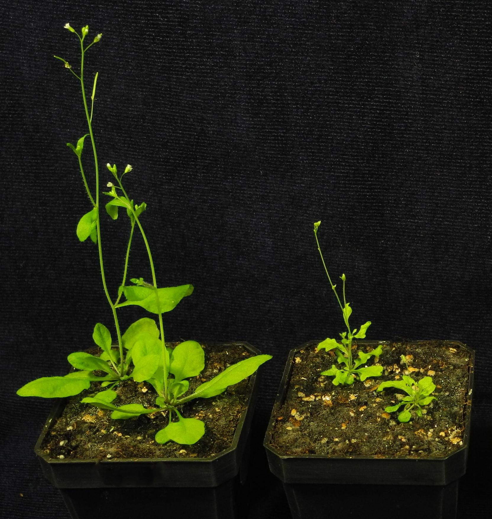 阿拉伯芥的野生株 (左) 以及 TIC236 基因表現量減少的突變株 (右),突變株有發育不良或葉子缺刻等狀況,表示若缺少 TIC236 這座橋,葉綠體無法正常運作。圖│李秀敏