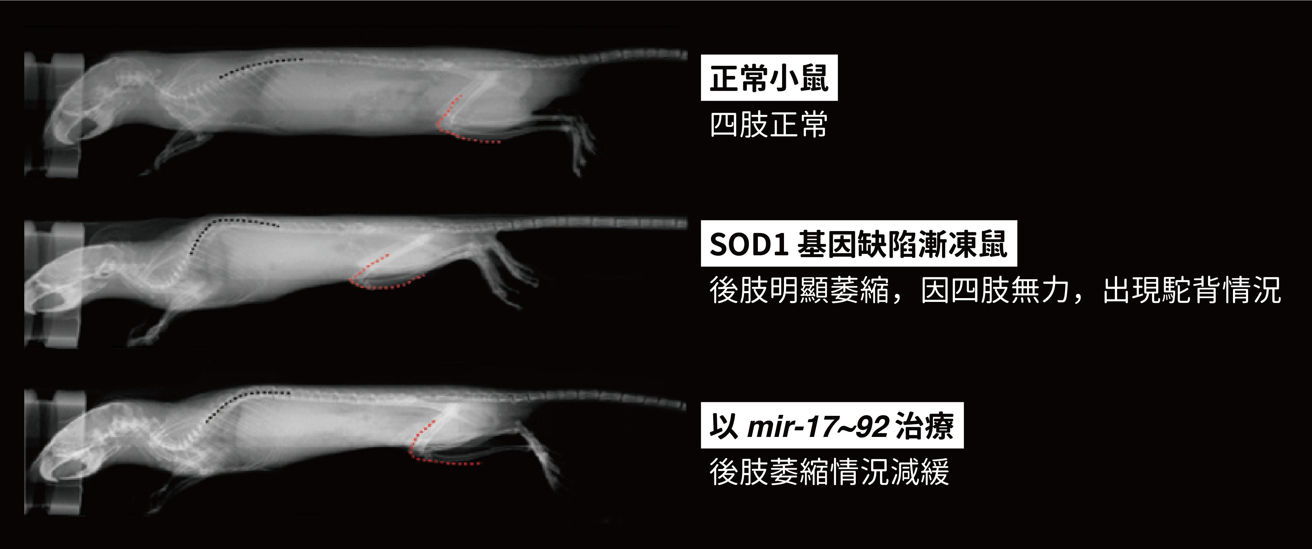 正常小鼠、ALS (漸凍症之一種)模式小鼠、提高體內 mir-17~92 表現量的 ALS 模式小鼠,透過 X 光看見四肢正常/萎縮/復原的情況。圖│研之有物 (資料來源│陳俊安)