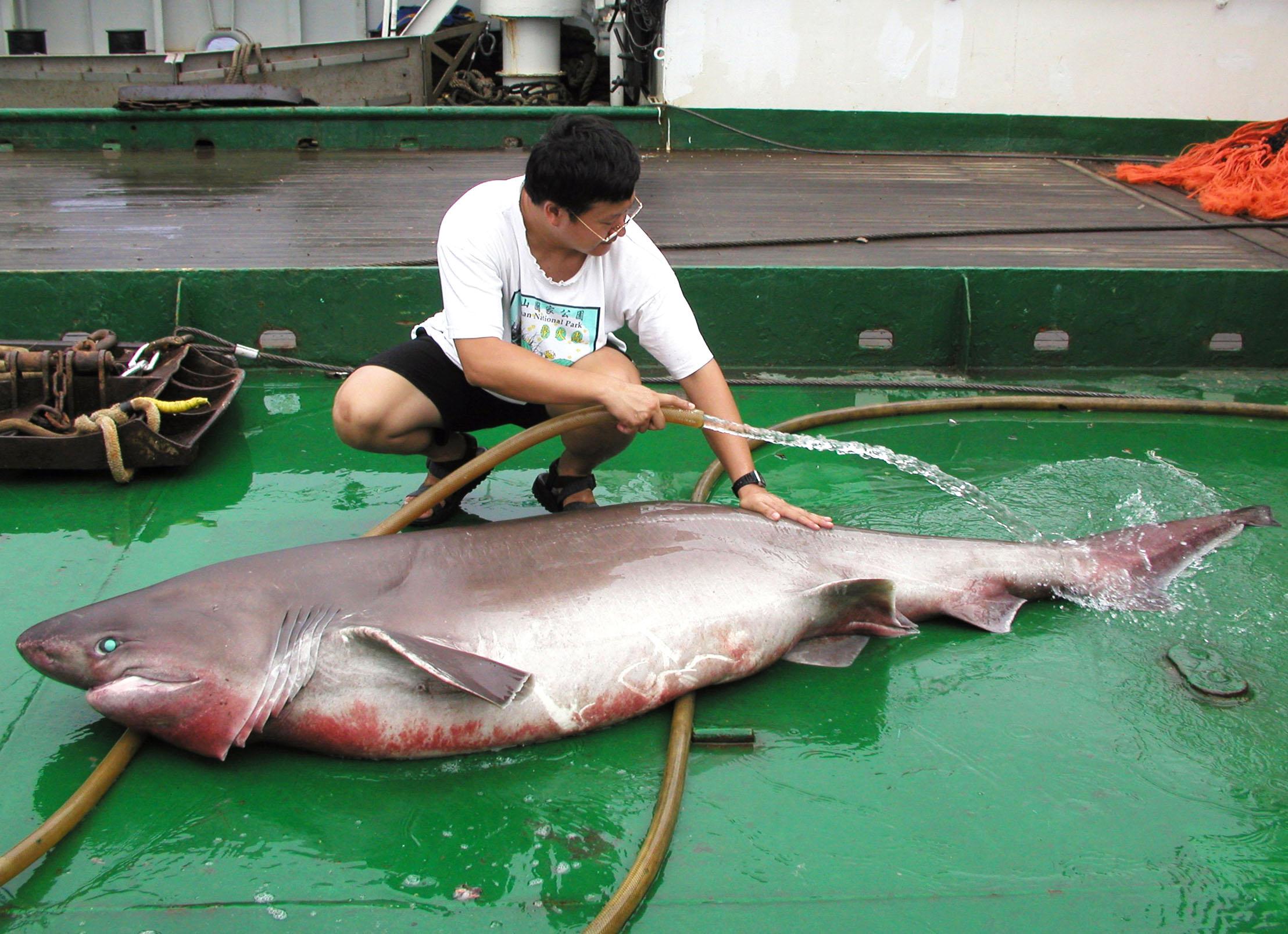 李柏鋒在研究船上清理捕獲的鯊魚。圖片來源│李柏鋒提供