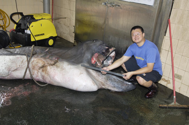 李柏鋒正在製作台灣第一隻巨口鯊標本。巨口鯊相當罕見,1976 年首度被人類發現,目前全世界收藏的標本還不到 20 尾。圖片來源│李柏鋒提供