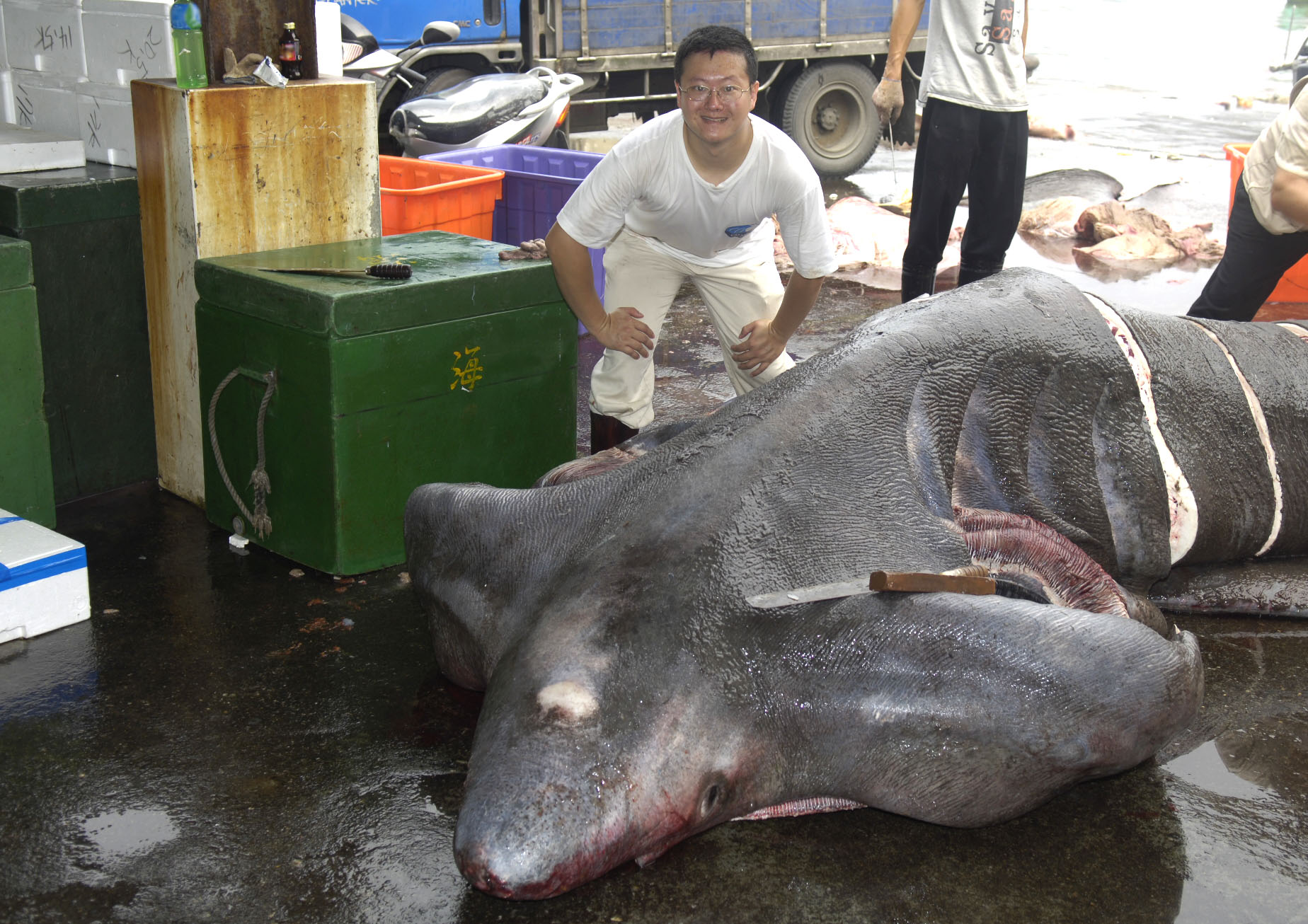 漁民捕獲稀罕的象鮫,李柏鋒正在漁港進行採樣工作。象鮫是世界第二大魚類,體長可達 6 公尺以上,游動緩慢、攻擊性低。近年因為魚翅、鯊魚肝等需求大增,已面臨滅絕威脅。圖片來源│李柏鋒提供
