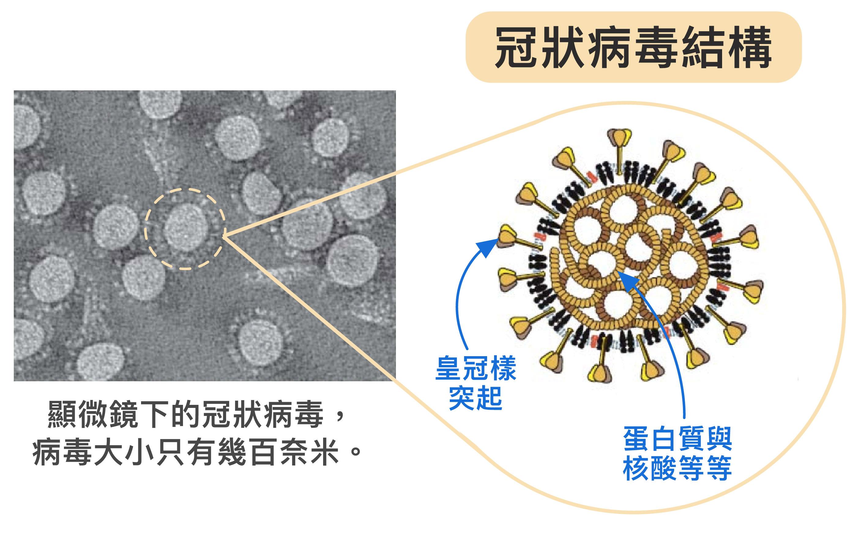 冠狀病毒體型不但非常微小,只有幾百奈米,外表為薄殼,具有特殊皇冠樣突起,內部中空,裝著密度高的蛋白質、基因等。病毒藉由宛如超迷你戰艦的構造,將蛋白質、核酸送入人體並綁架細胞。要是將病毒的成分拆解、變成單一的核酸或蛋白質等,威力不會這麼強大。圖片來源│胡哲銘 圖說美化│林洵安