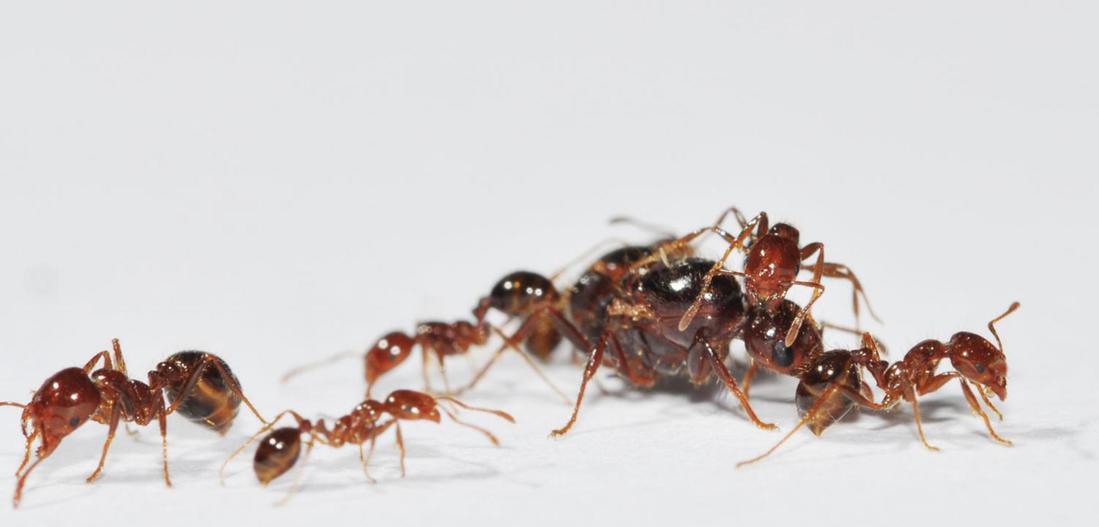 入侵紅火蟻 (以下簡稱紅火蟻) 原產在溫暖、潮溼的南美,1920 年代傳入美國,擴散到全美各地,再透過進出口貨物、盆栽泥土傳播,從美國擴散到澳洲、中國、日本、韓國、臺灣等地。圖│王忠信