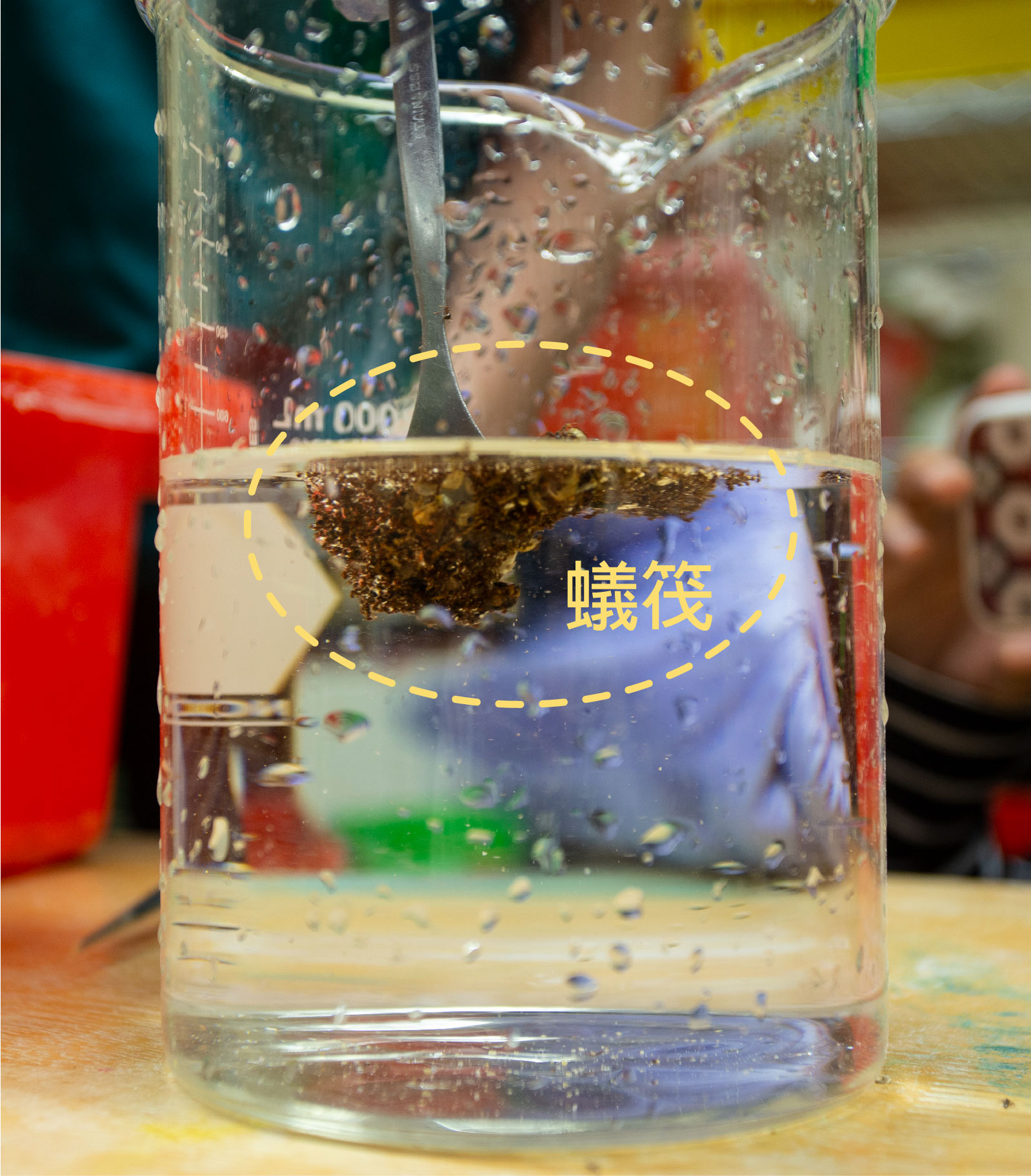 紅火蟻的蟻筏。把紅火蟻丟入水中,牠們會用大顎咬住彼此的腳,組成一個球狀或筏狀物,把蟻后和卵、幼蟲放在「球」中間保護,稱為「蟻筏」。攝影│林洵安