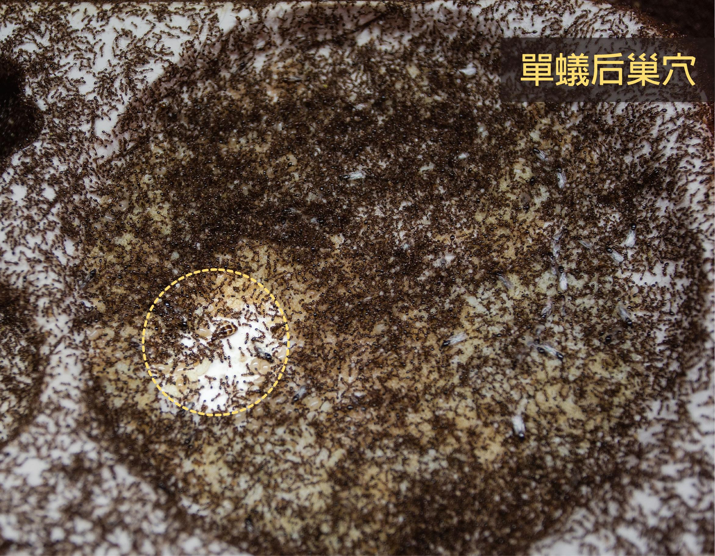 單蟻后巢的蟻后 (黃色圈圈內),工蟻會讓出空間,使周圍淨空一圈。攝影│林洵安