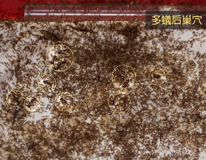 多蟻后巢穴的蟻后 (黃色圈圈內) 跟大家混在一起,仔細觀察才能找到蟻后。攝影│林洵安