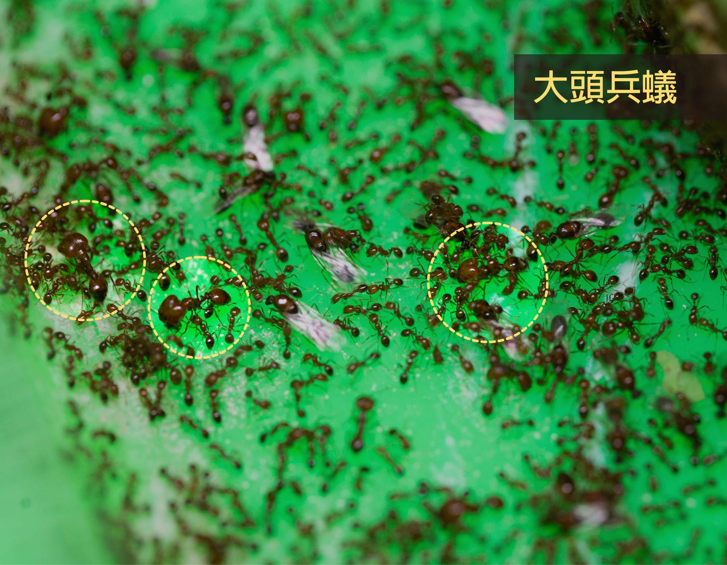 熱帶火蟻有大頭兵蟻,入侵紅火蟻沒有兵蟻,只有工蟻,可用來區別兩種火蟻。攝影│林洵安