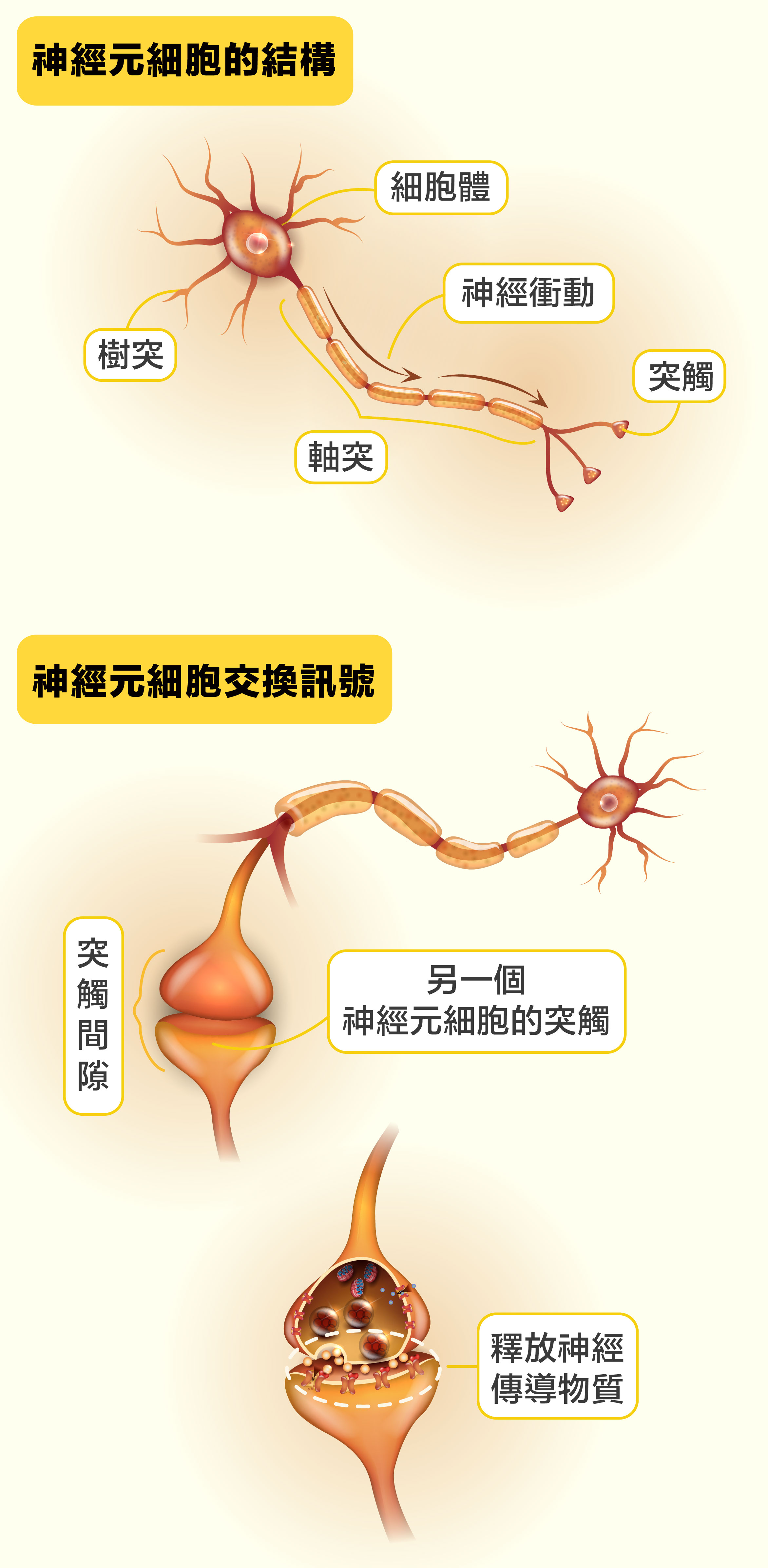 第一個神經元細胞將神經衝動傳到軸突末端的突觸,然後釋放神經傳導物質到下一個神經元細胞的樹突突觸,藉此將神經衝動傳給下一個神經元......就這樣把訊息接力傳到目的地。神經元軸突長度相差很大,有的僅分布在細胞周圍;有的很長,像是成人的坐骨神經,長度能超過1.5公尺。圖片來源│iStock圖說設計│黃曉君、林洵安