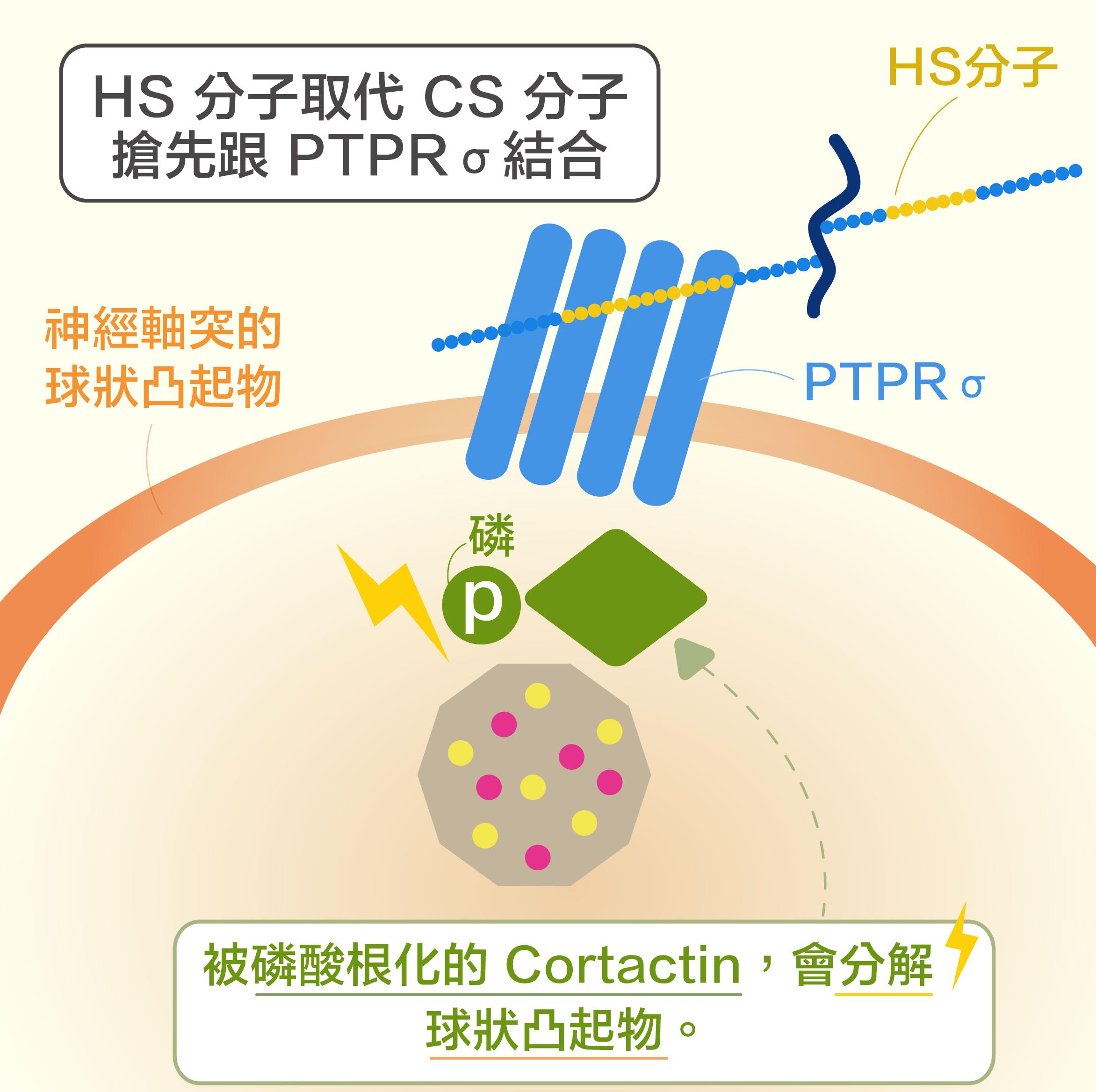 第二個新發現:HS 分子取代 CS 分子,搶先與 PTPRσ 結合,讓 Cortactin 又可被磷酸根化, 使神經軸突順利再生。資料來源|洪上程圖說重製|黃曉君、林洵安