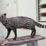 珍貴的麝香貓標本,也是來自路殺社成員的貢獻,成為重要的科研資料。攝影│林洵安