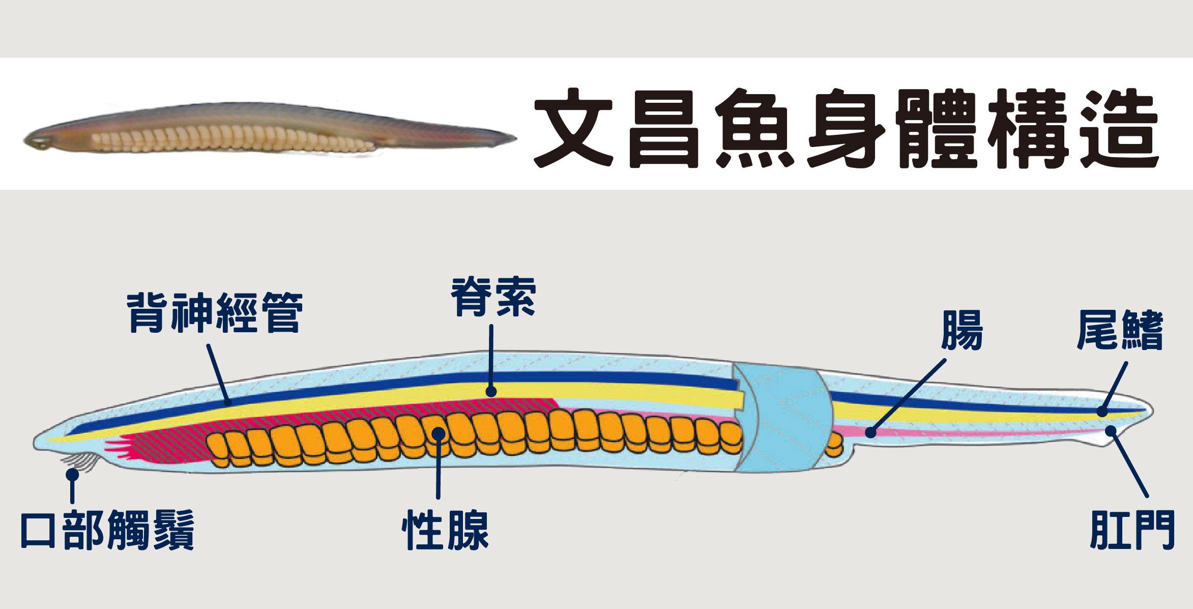 圖為脊索動物代表——文昌魚。脊索動物門包含頭索動物、尾索動物、脊椎動物,共同特徵是在個體發育過程或某時期有 (支撐身體的) 脊索、背神經管 (神經集合成一束) 和分節的肌節,脊椎動物 (如人類) 又多了脊椎骨和發達的頭部。圖片來源│游智凱圖片重製│林洵安