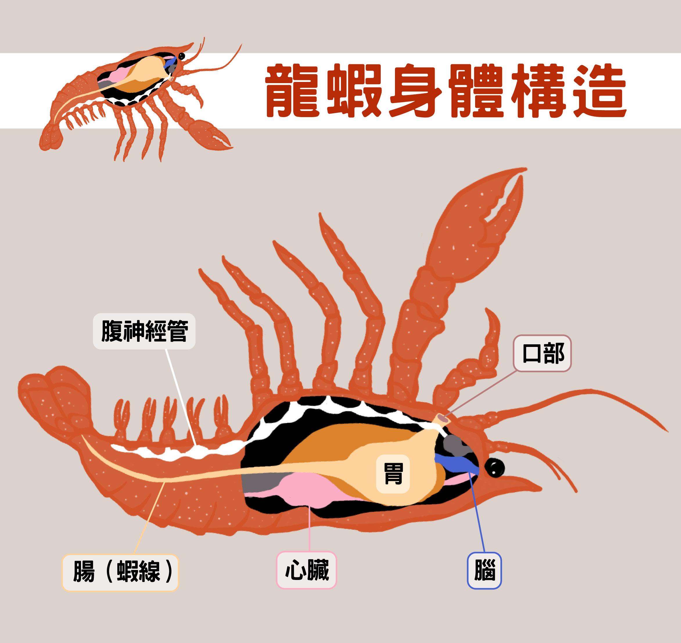 龍蝦一樣有神經管,把牠翻過來,神經管在上、腸子在下,很像脊索動物。圖說設計│黃曉君、林洵安