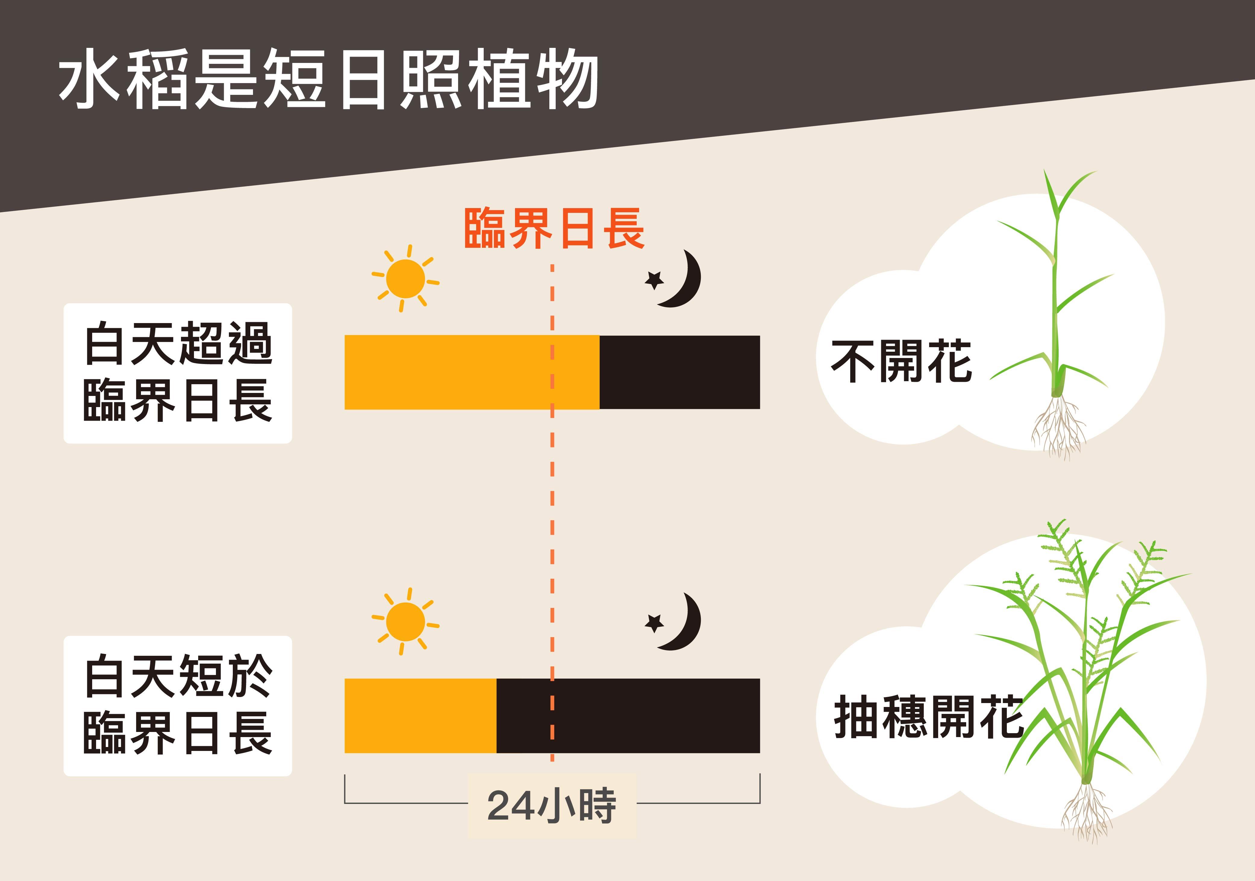 臨界日長是決定植物是否開花的最短或最長光照時間。短日照植物的光照時間必須短於臨界日長,植物才會開花,長日照植物則反之。圖說設計│黃曉君、林洵安
