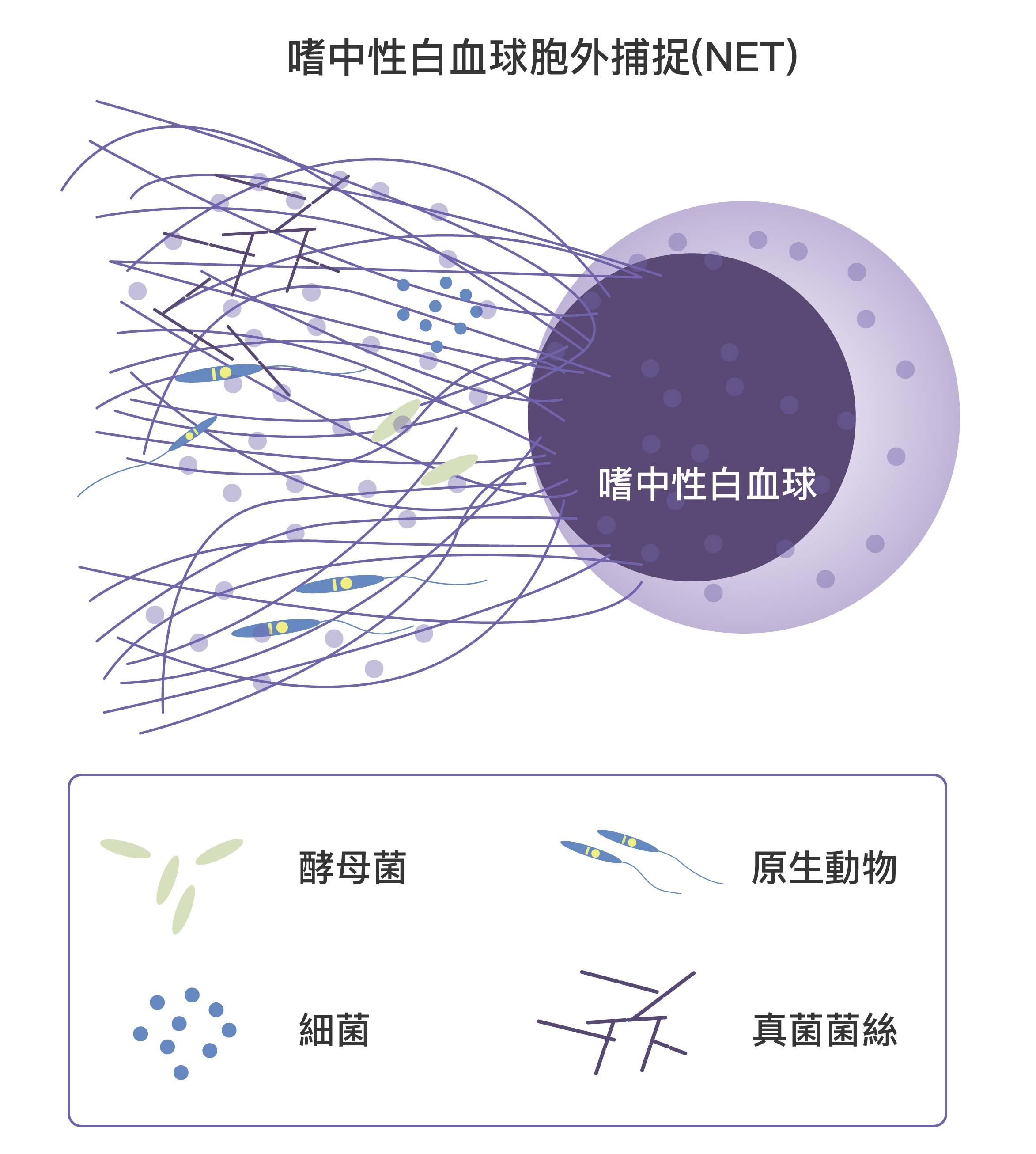 嗜中性球細胞膜破裂,對病原體噴射大量絲狀染色體,高黏性的染色體會困住病原體。同時嗜中性球體內的免疫蛋隨之釋出,消滅病原體。此時嗜中性球也隨之死亡。資料來源│NETosis : A Microbicidal Mechanism beyond Cell Death圖說重製│林任遠、張語辰