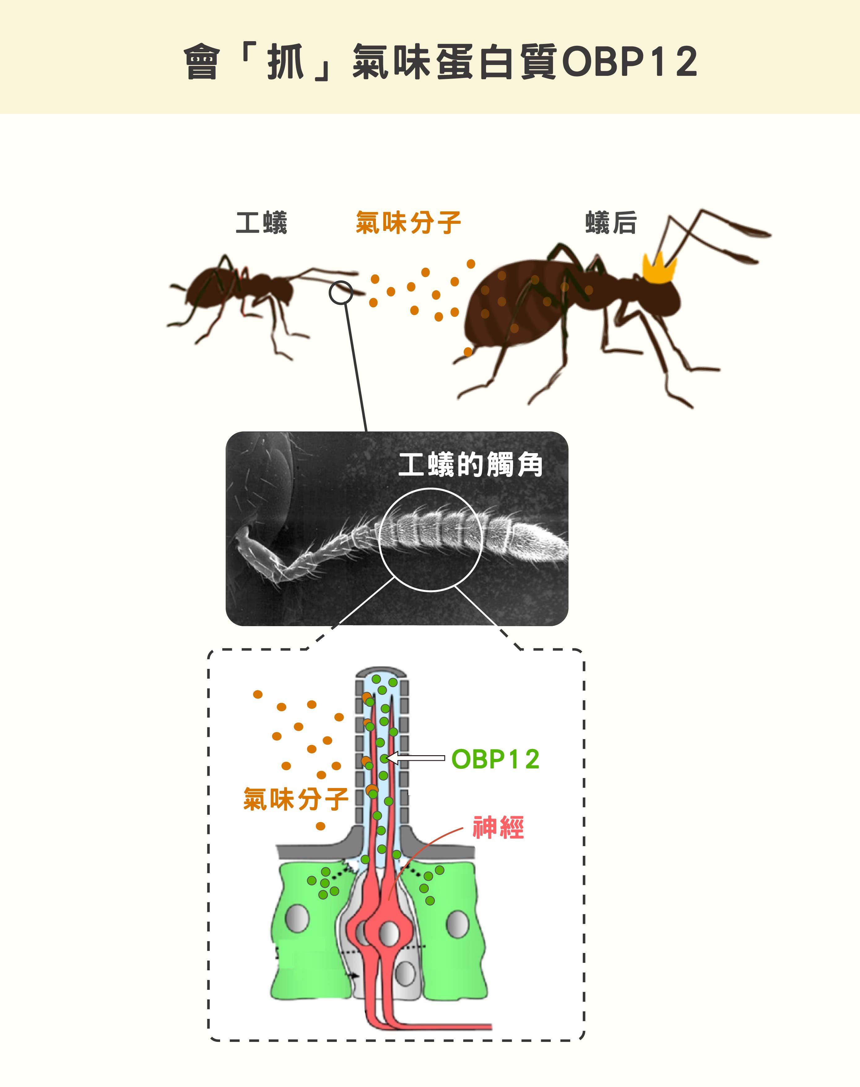 紅火蟻的觸角外面有一層殼,中間的神經表面有受器,可接收外界的氣味分子,形成嗅覺。但是!外殼和神經間之間是液體,就像一條河,氣味分子不溶於水,不能自己「渡河」,必須由一種氣味結合蛋白 OBP12 抓住、保護,才能順利「游過」液體、抵達神經的受器。圖│研之有物 (資料來源│王忠信)