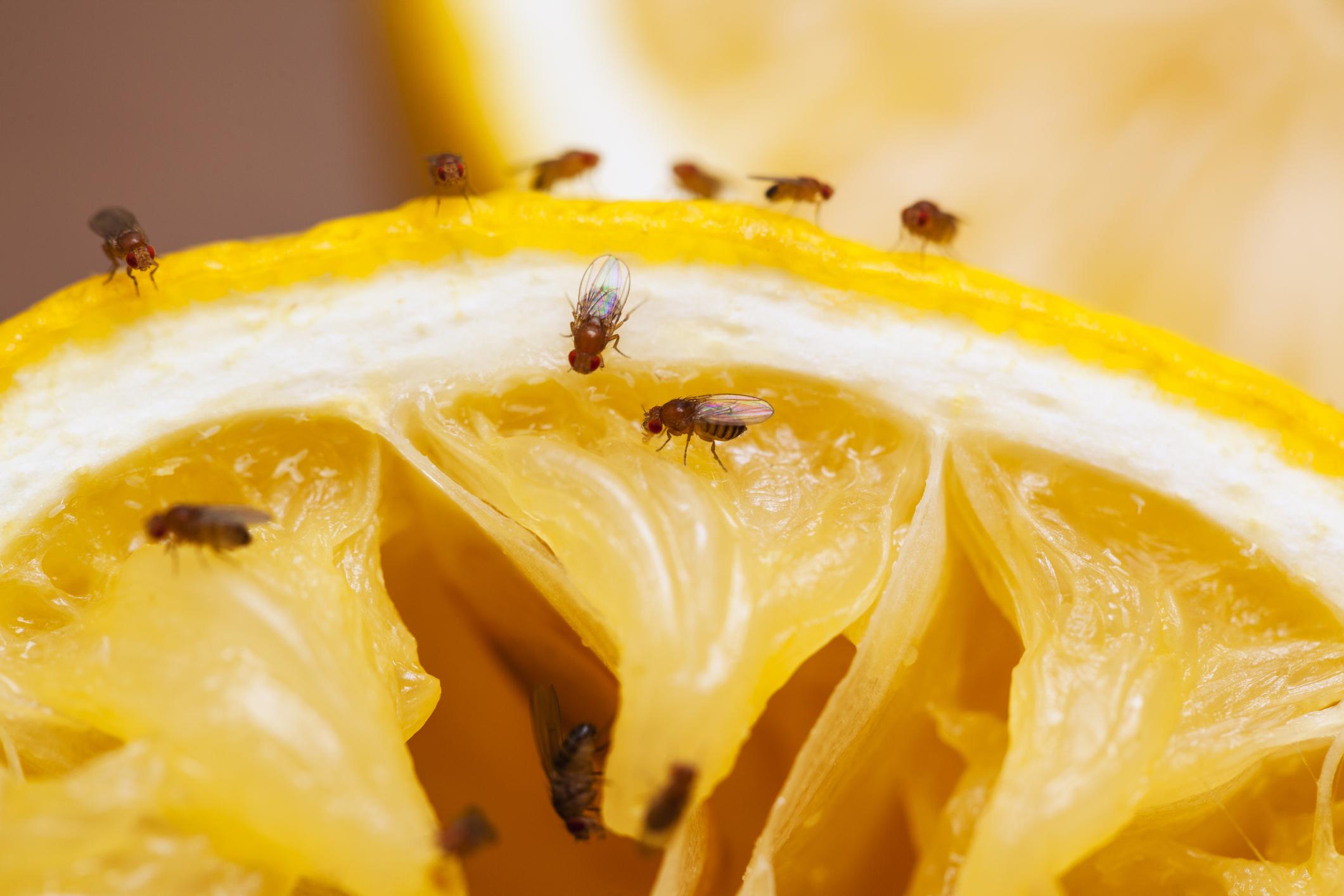 看似「頭腦簡單」的小小果蠅,竟是揭開大腦電路的關鍵生物。圖片來源│iSock