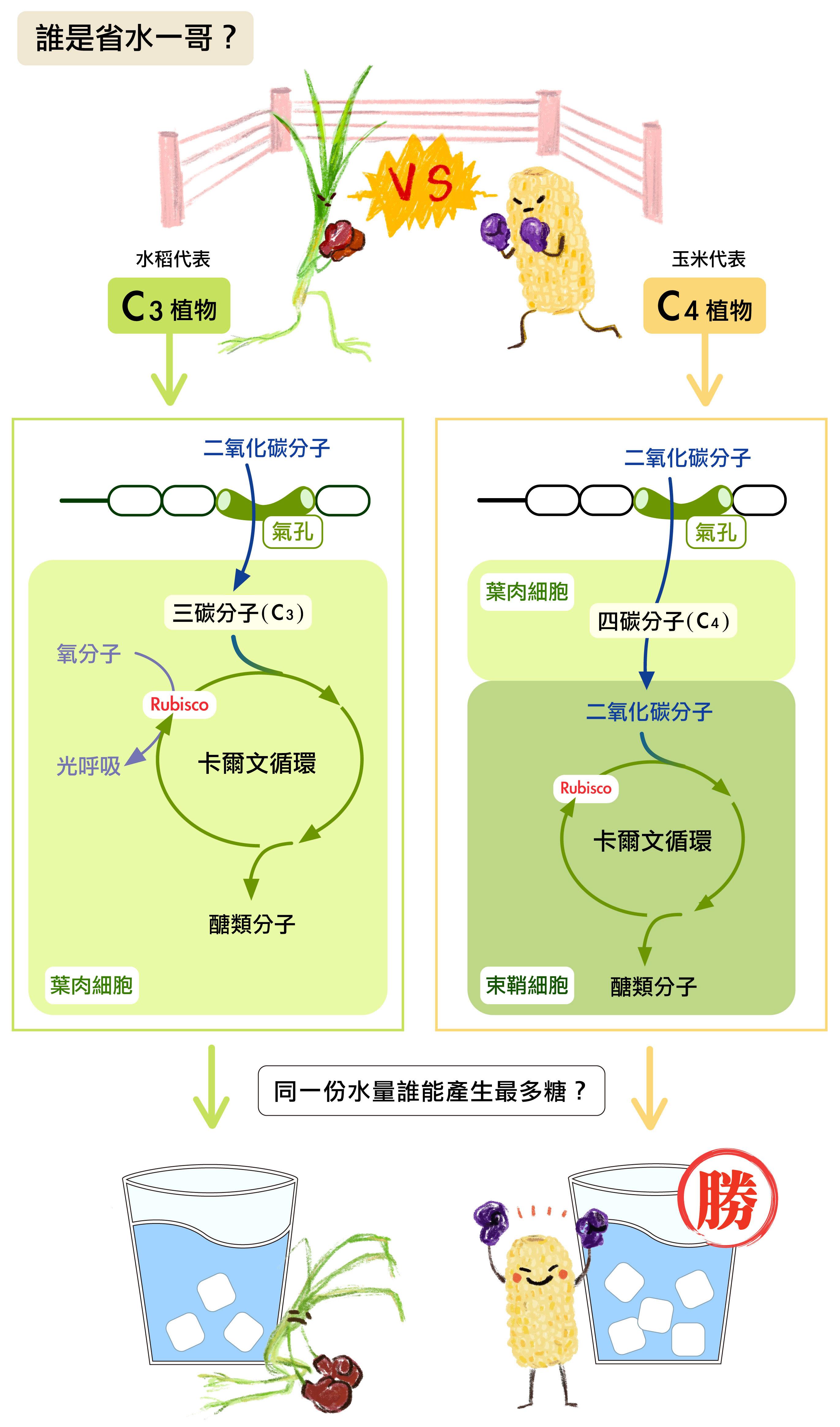 C3 植物,意即光合作用轉化二氧化碳最先產物為三碳化合物, C4 植物最先產物則是四碳化合物。C4 型植物的葉片中具有特殊的組織結構,以及複雜的酵素生化反應,可以讓二氧化碳更有效率地轉換成糖類,並且減少在蒸發作用流失水分。換句話說,以同樣的水量灌溉,C4 植物可產生的糖比較多。國際 C4 水稻計畫,簡言之,即把屬於 C3 型植物的水稻改造成 C4 型植物。圖說設計│黃曉君、林洵安