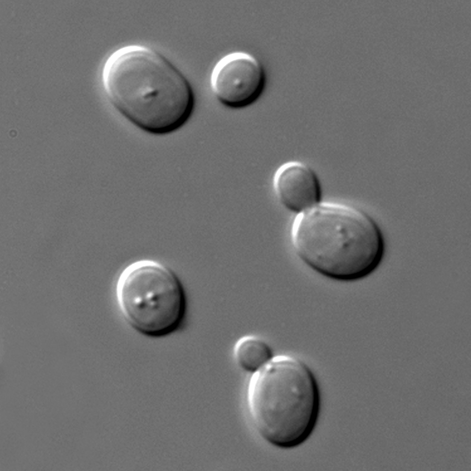 顯微鏡下的酵母菌, 90 分鐘即可產生一個世代,非常適合進行演化實驗。圖│維基百科